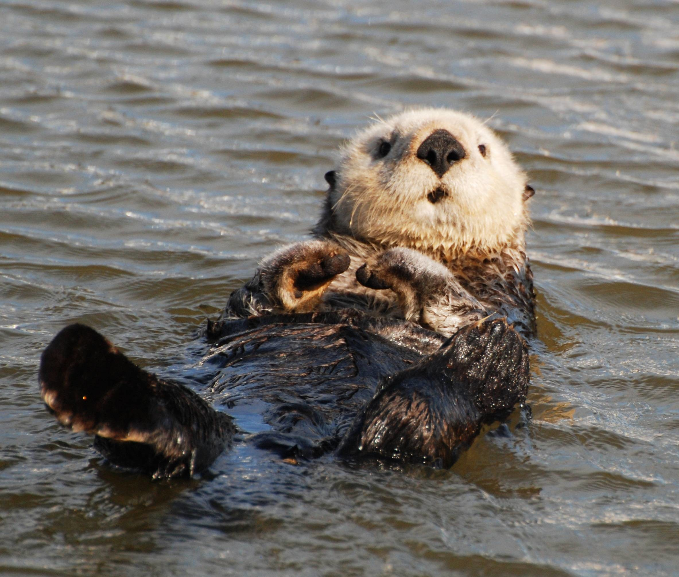 Res: 2366x2011, Sea otter #1142980 - Animals Images & Wallpapers on Jeweell