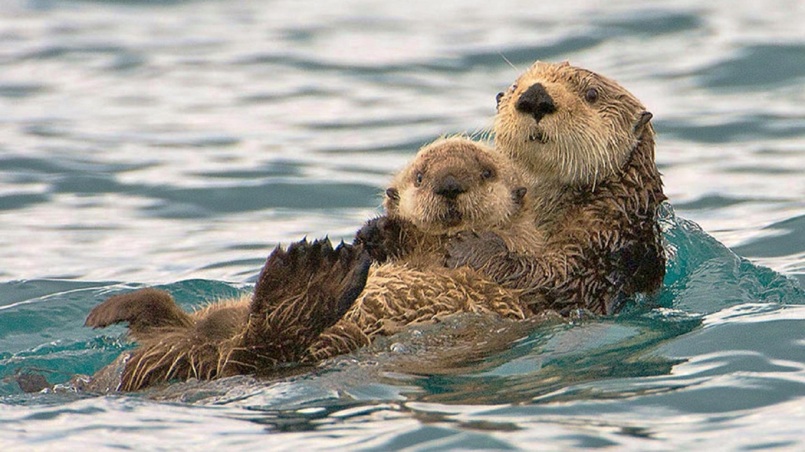 Res: 2560x1440, Sea Otter Wallpaper