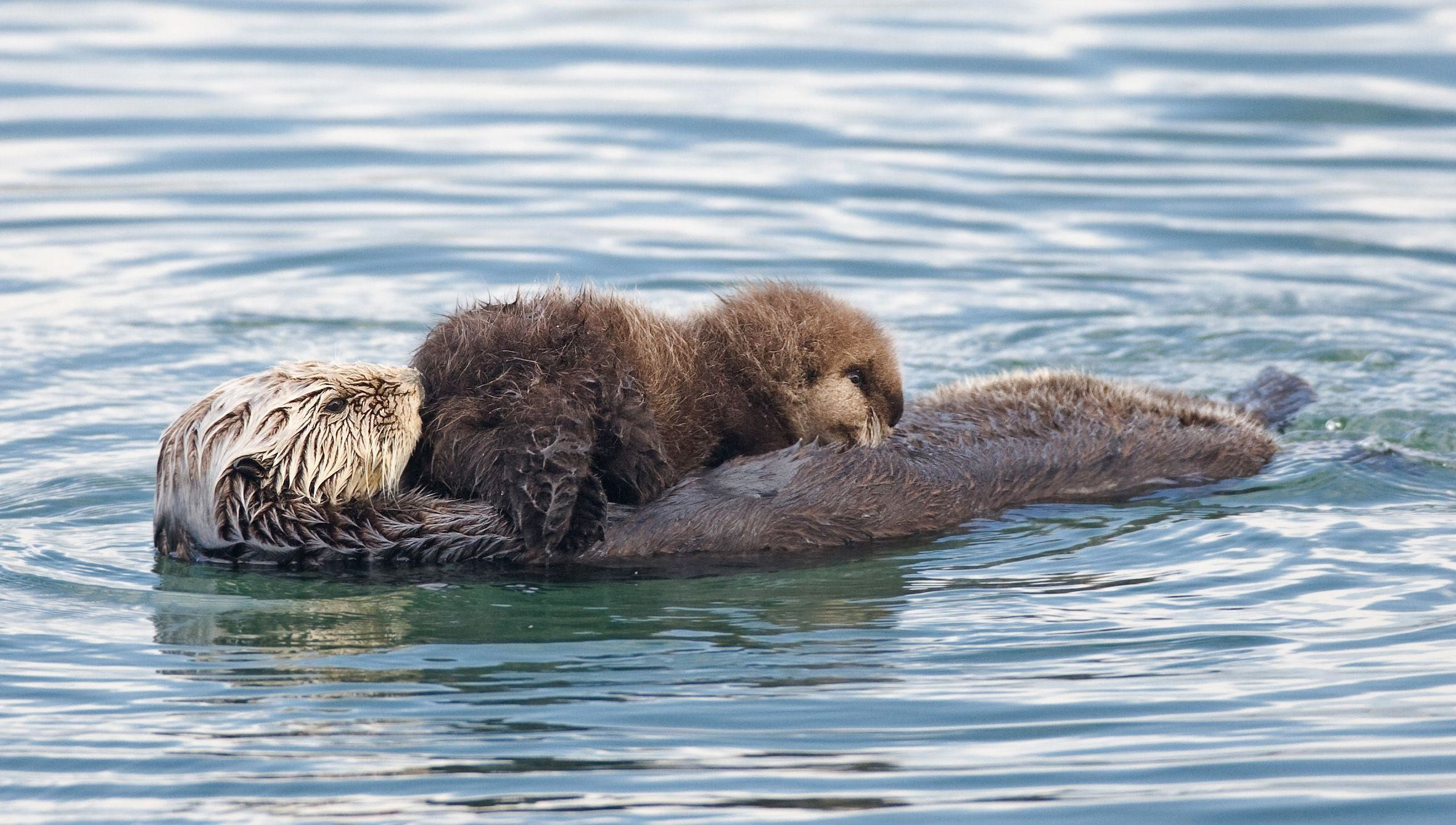 Res: 2361x1338, Sea Otter Wallpaper - Boncia | Boncia