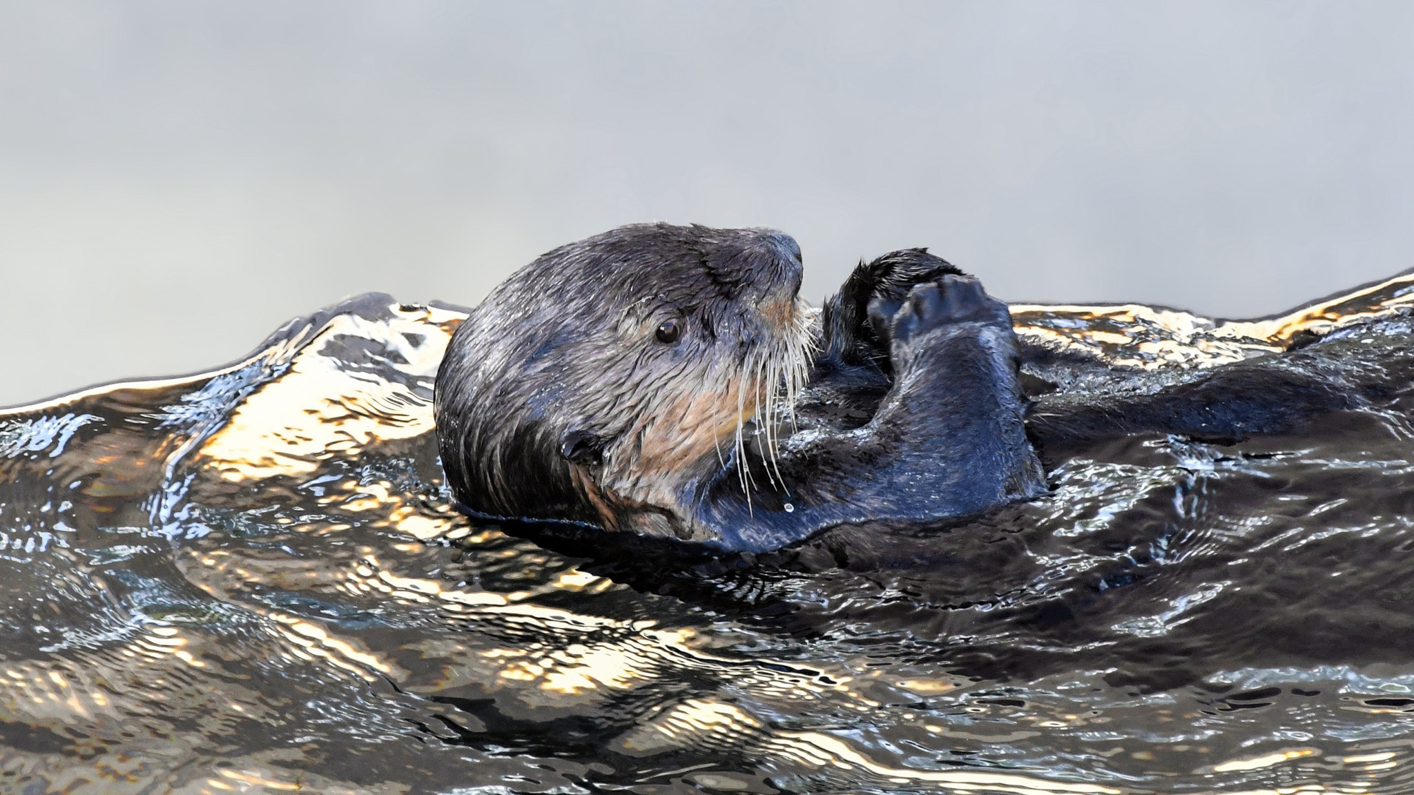Res: 2048x1152, Sea otter, aquatic animal, swim,  wallpaper