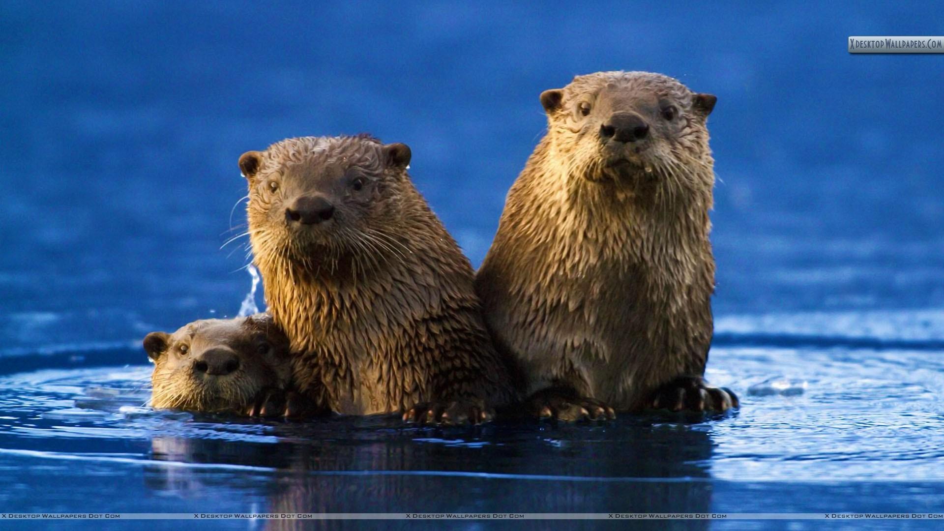 Res: 1920x1080, Sea Otter Family