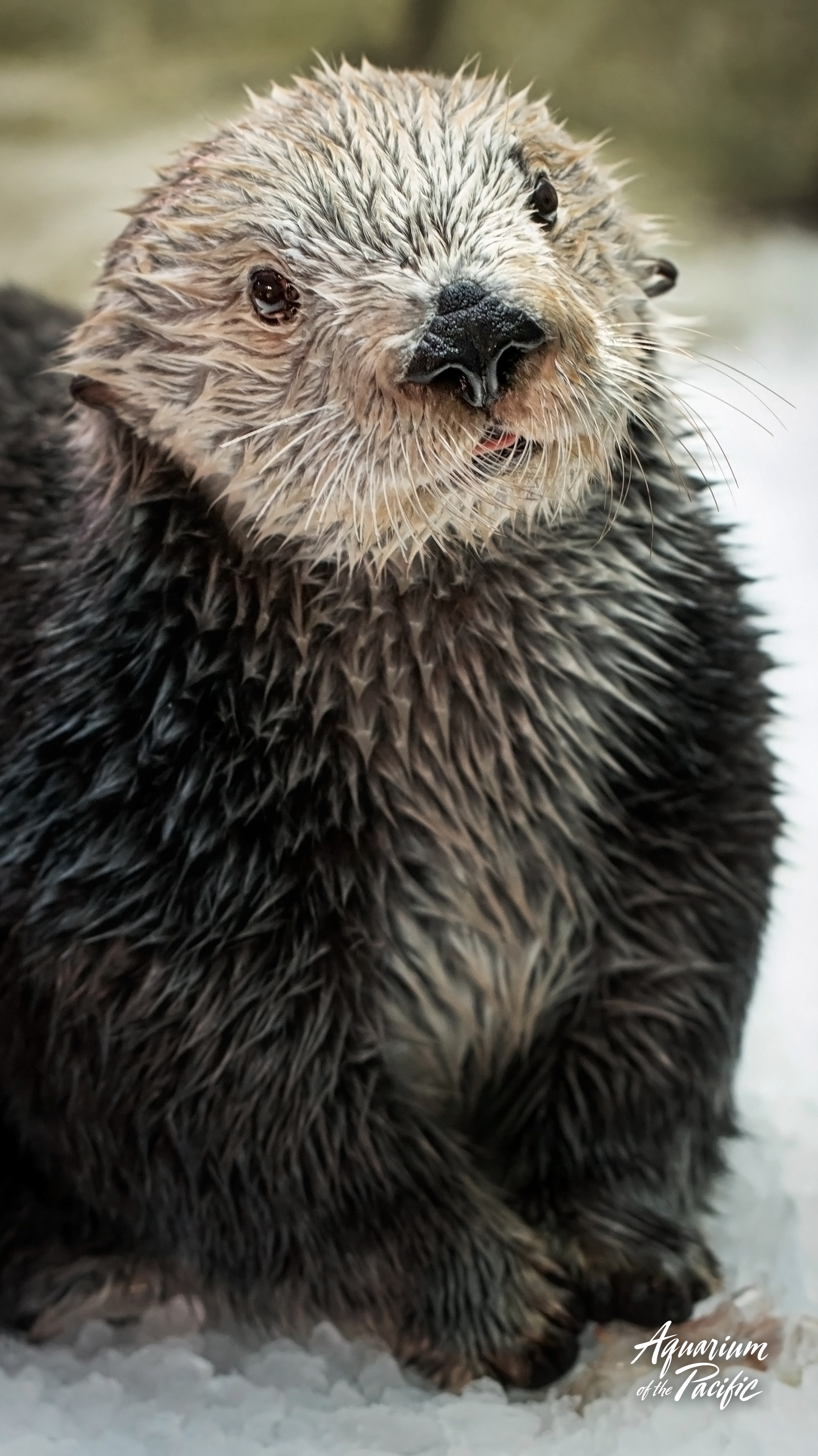 Res: 2160x3840, Otter