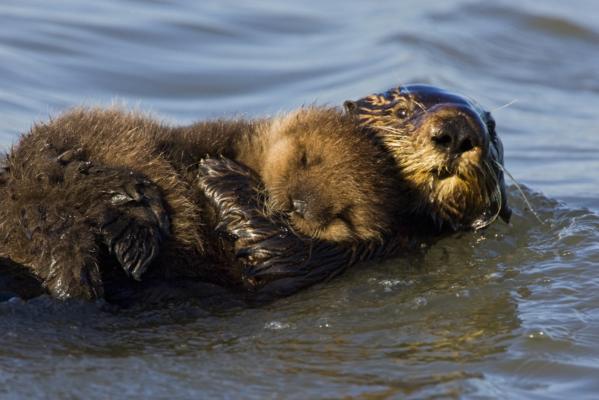 Res: 2048x1366, Sea Otter Moms Risk Lives to Raise Babies