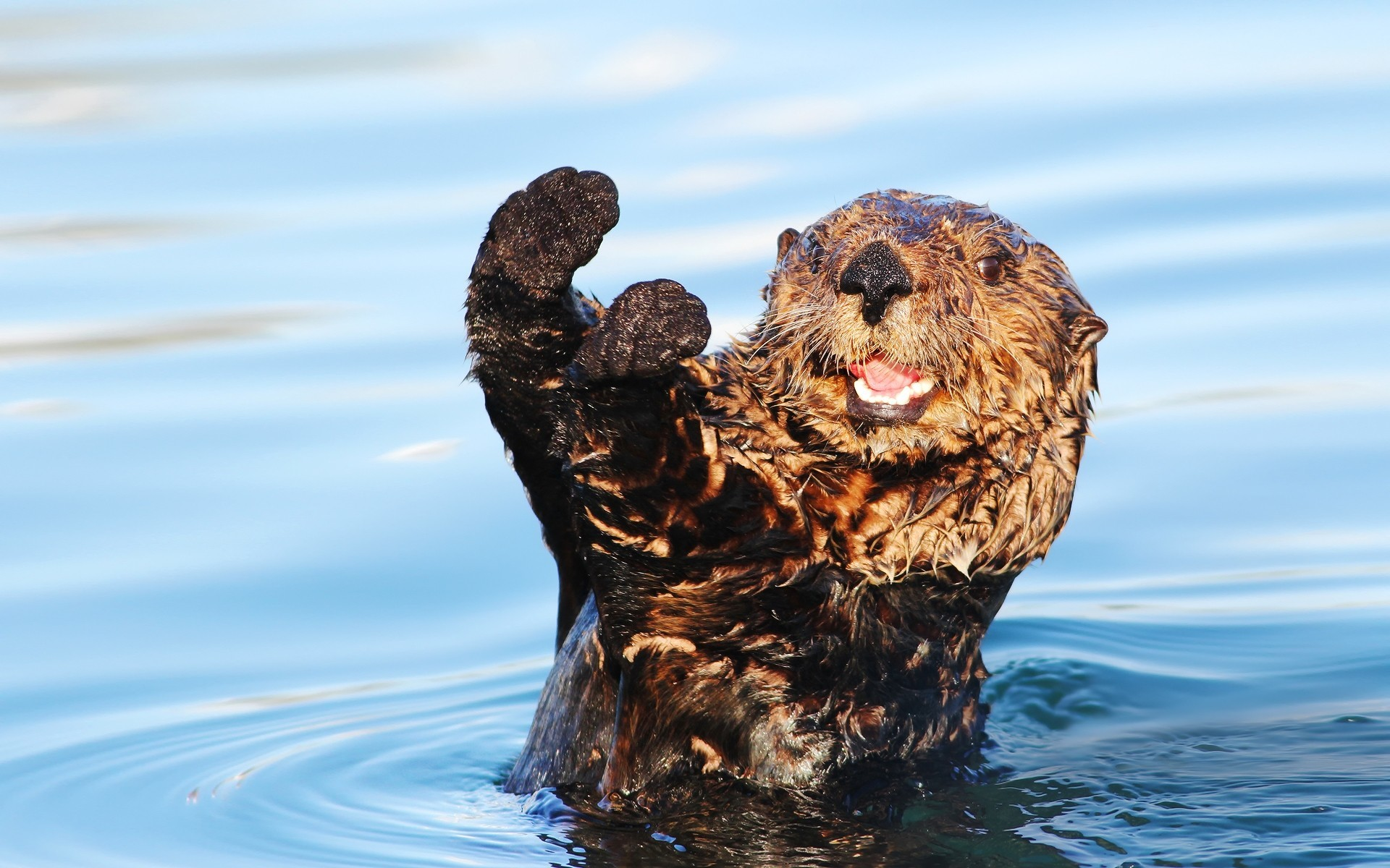 Res: 1920x1200, Sea Otter Cute Wallpapers HD Desktop for Free | SEA OTTERS