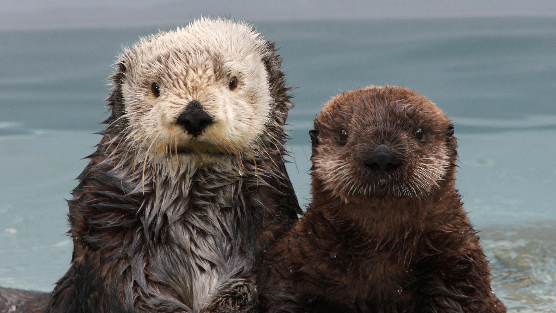 Res: 1920x1080, sea otter wallpaper #489888