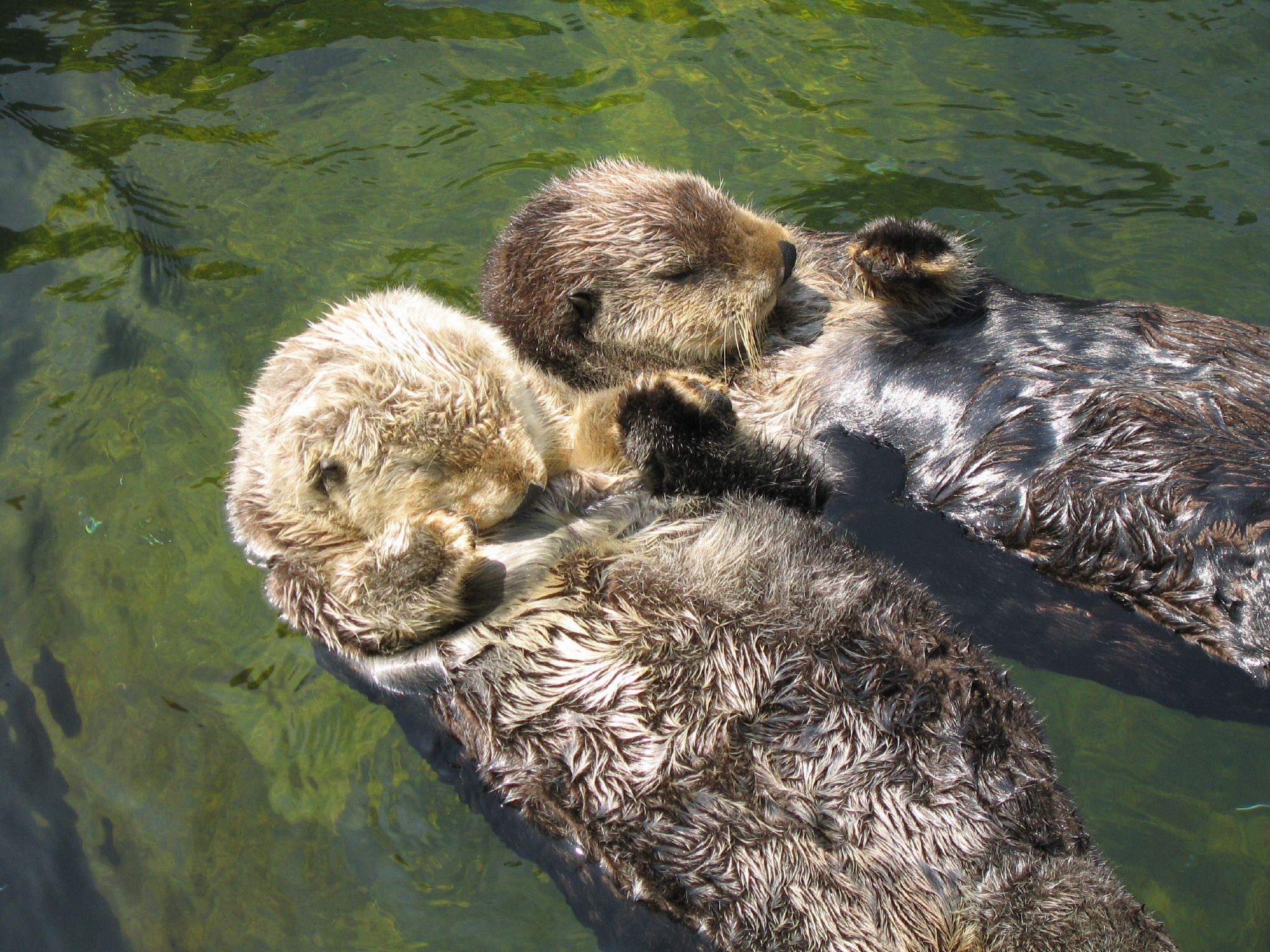Res: 2048x1536, sea otter wallpaper #460665