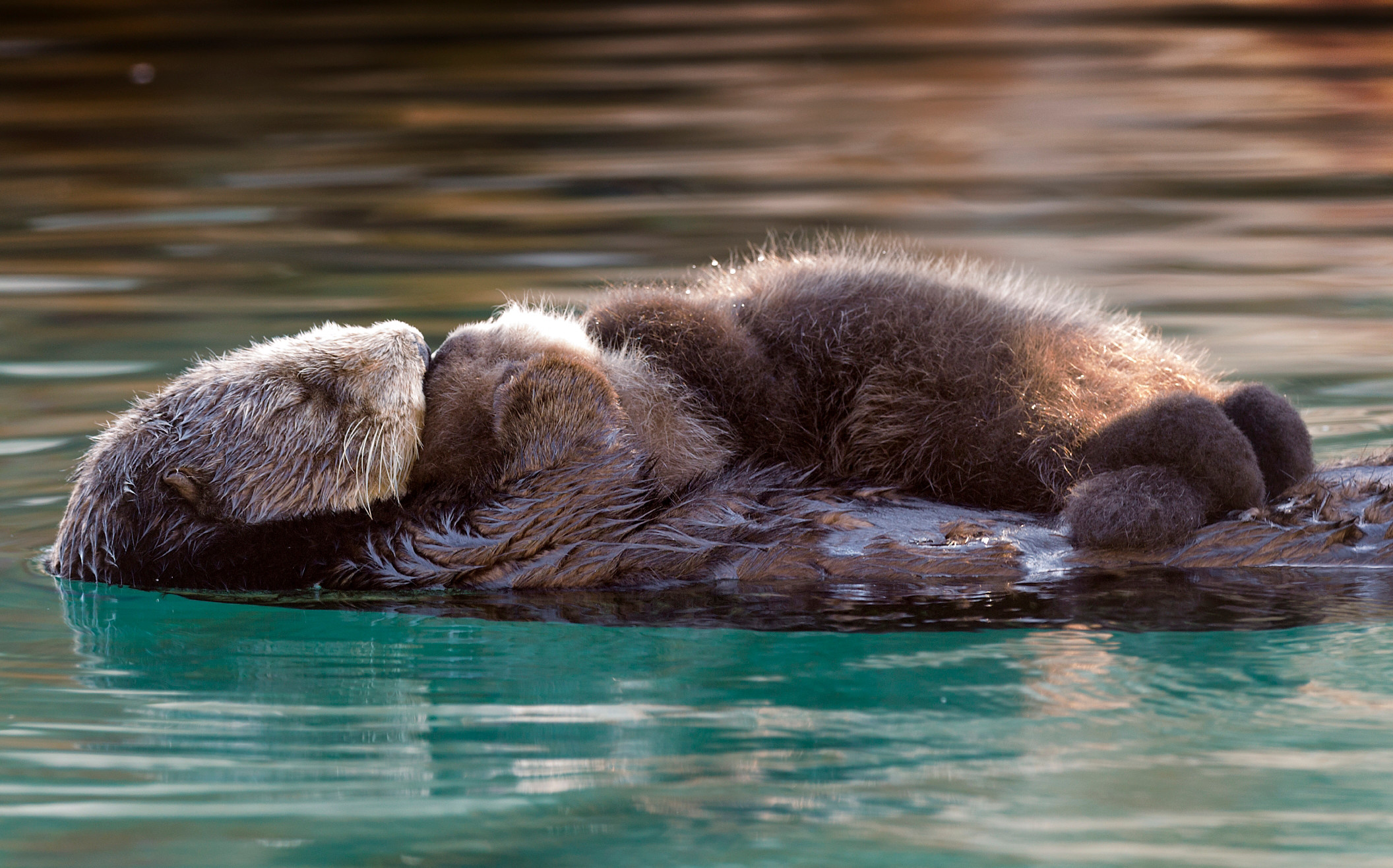 Res: 2112x1318, Southern Sea Otter Priority at the Monterey Bay Aquarium
