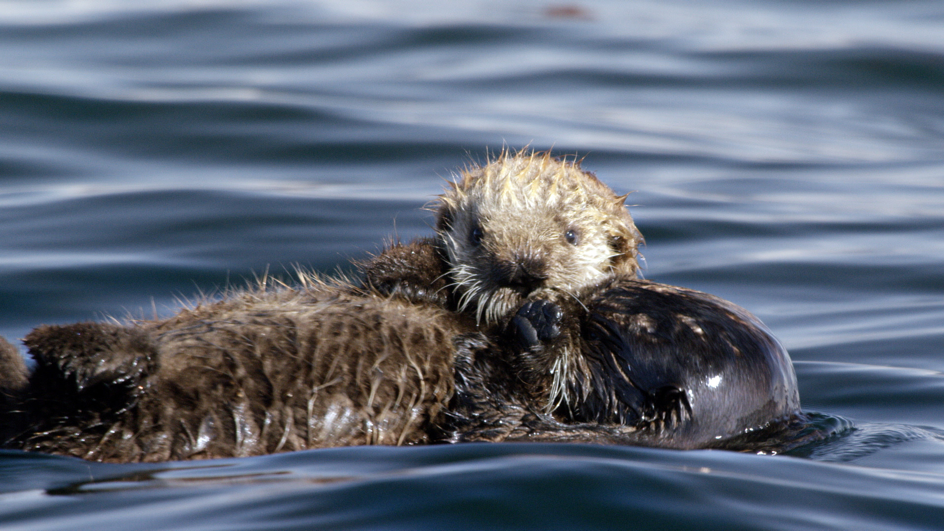 Res: 1920x1080, Adorable Sea Otters Frolic As Filmmaker Takes Cover