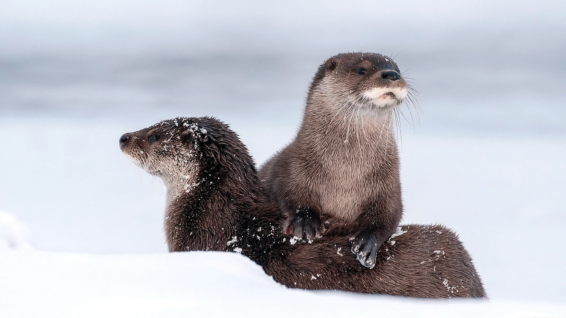 Res: 1920x1080, Sea Otters