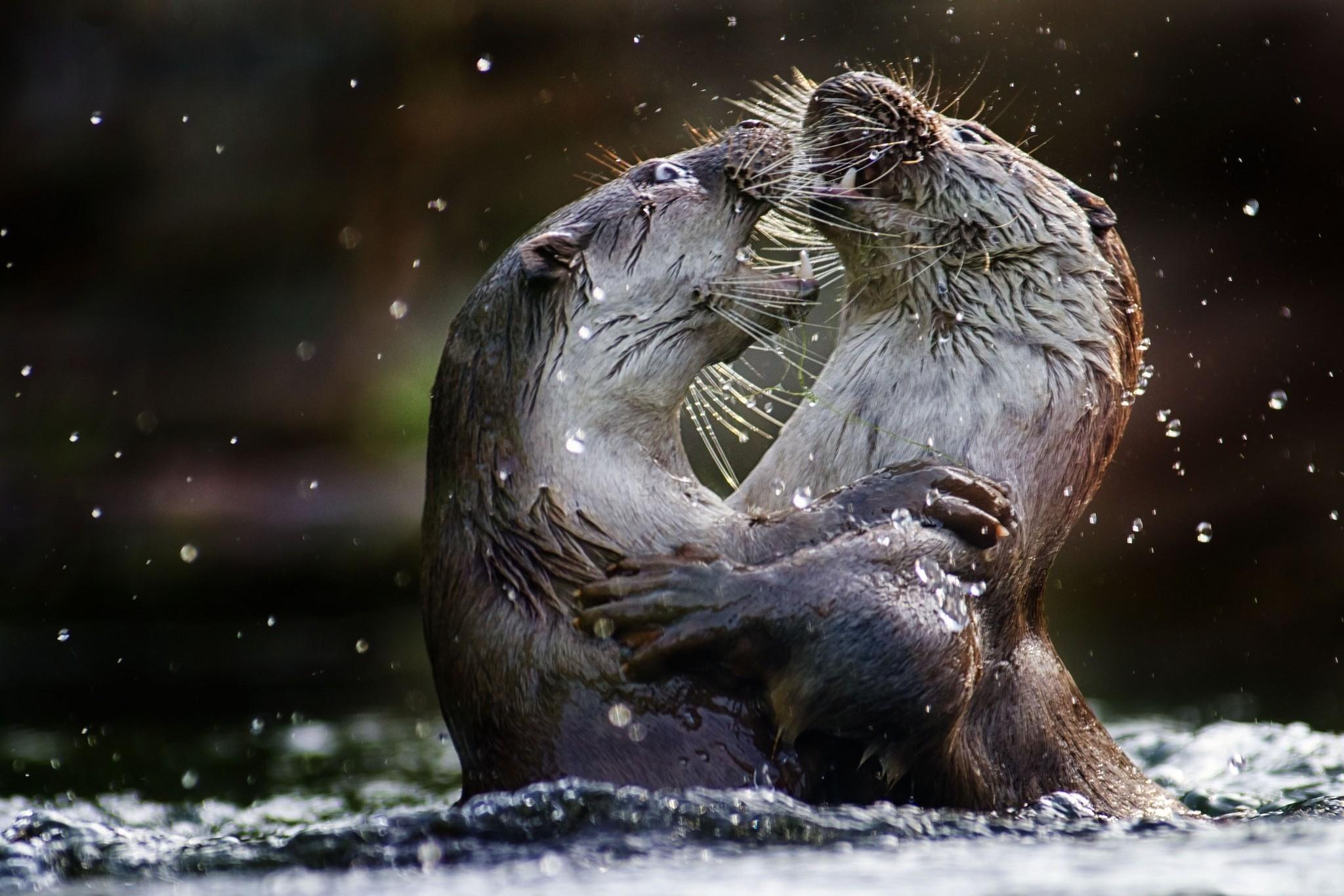 Res: 2048x1365, Sea Otter HD Wallpaper 1444.