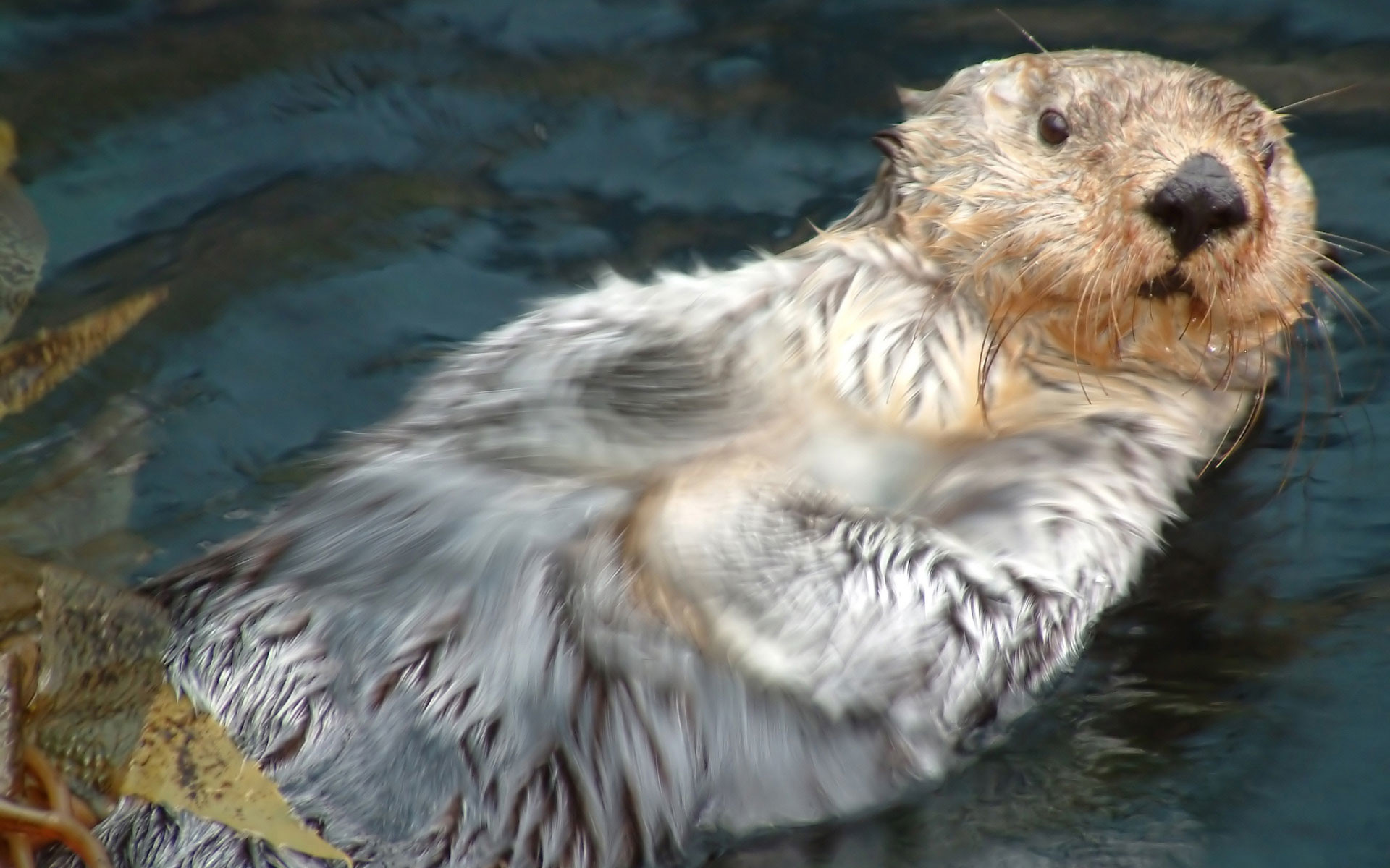 Res: 1920x1200, River Otter Vs Sea Otter wallpaper
