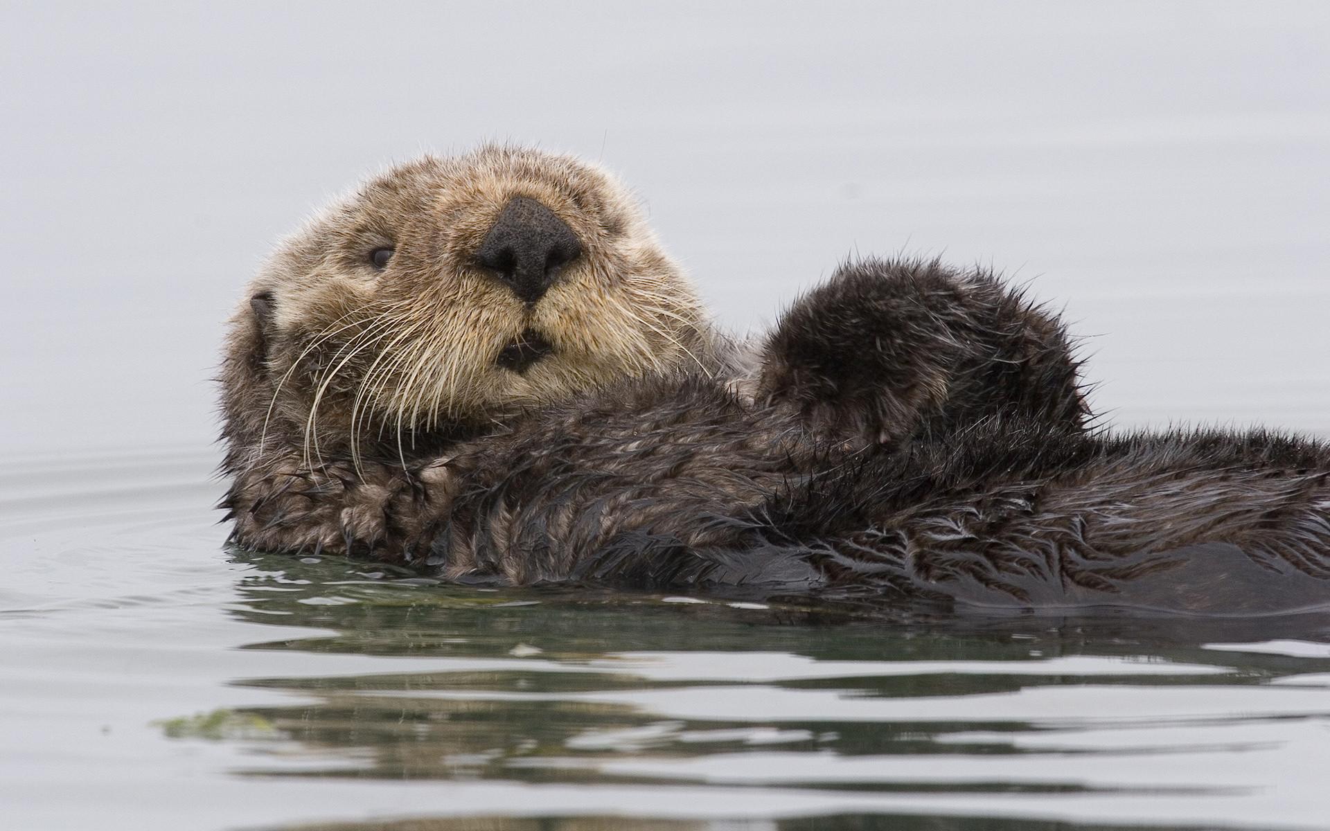 Res: 1920x1200, Sea Otter Preening Itself In Morro Bay