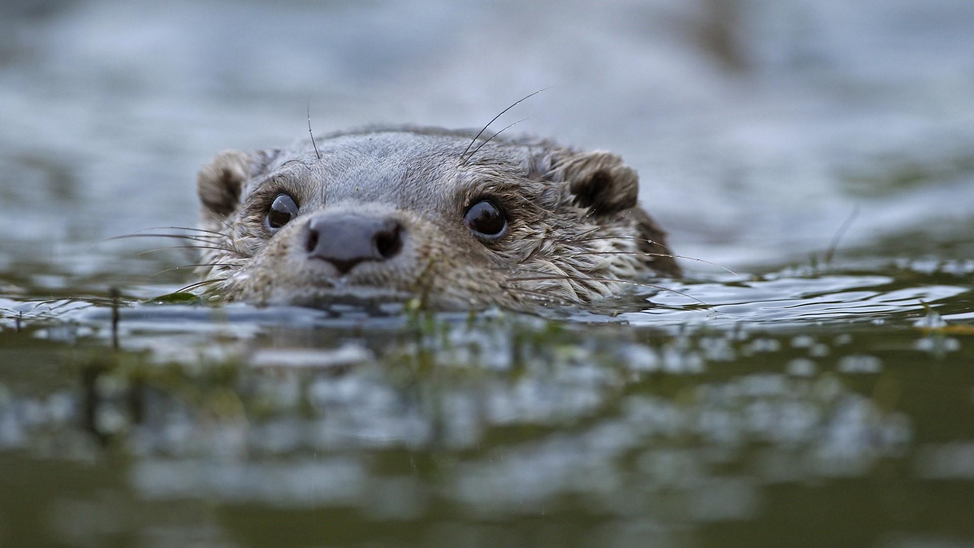 Res: 1920x1080, Sea Otter Wallpaper