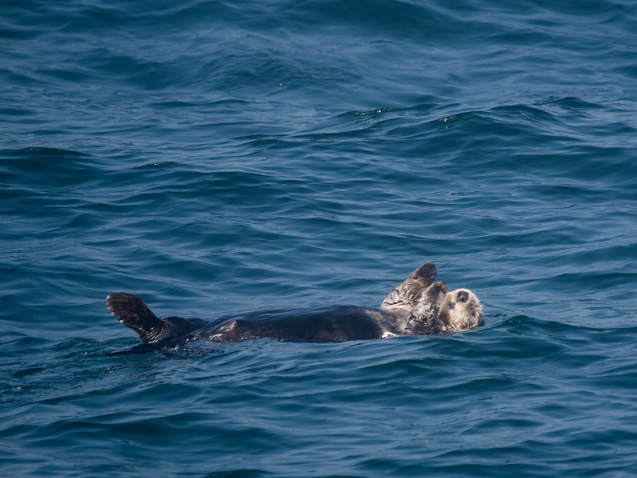 Res: 2214x1661, brown otter floating on calm water, sea otter HD wallpaper