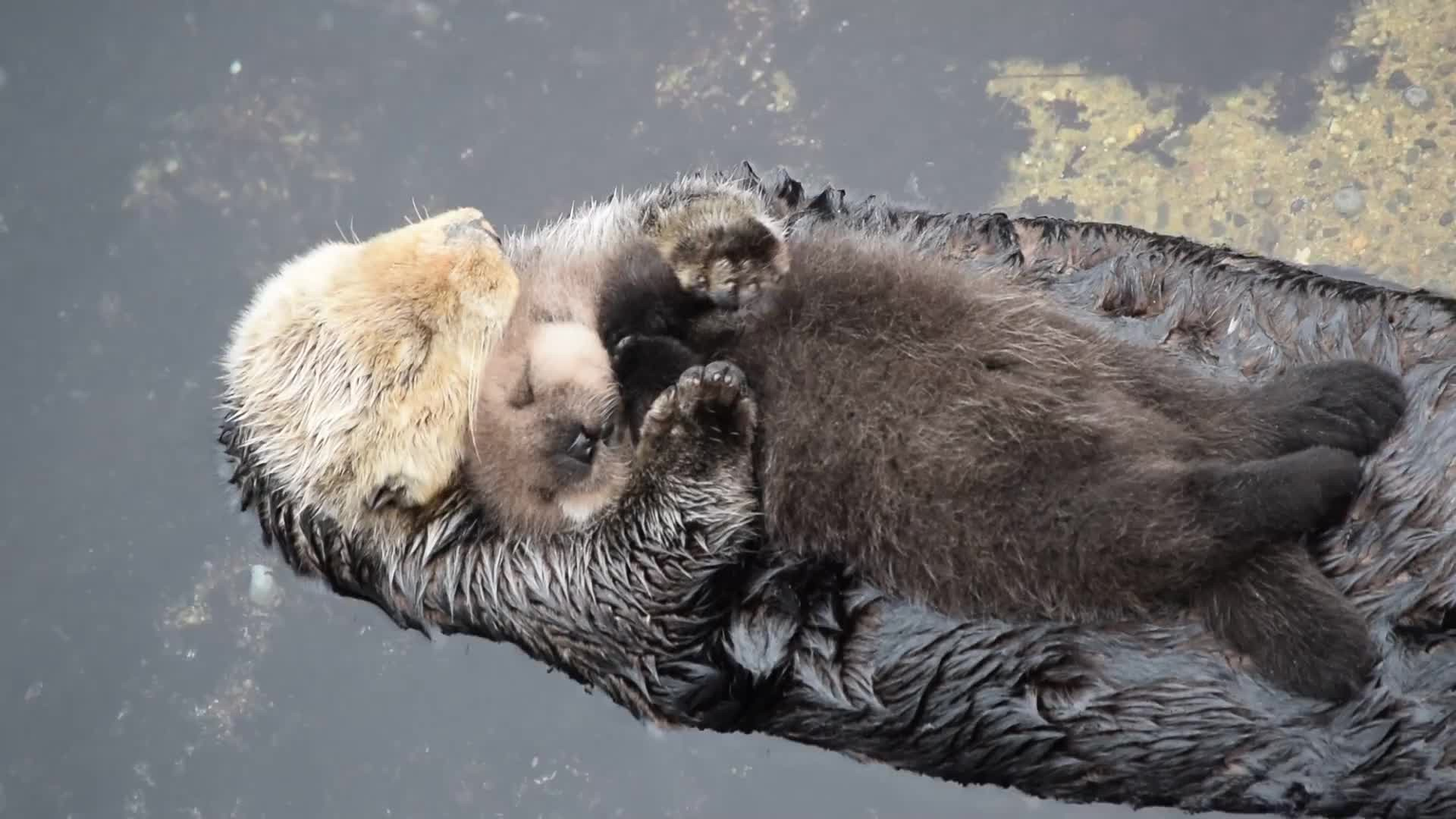 Res: 1920x1080, 1 Day Old Sea Otter Trying to Sleep on Mom GIF by (@c91999) | Rechercher,  Faire et partager des GIFs Gfycat