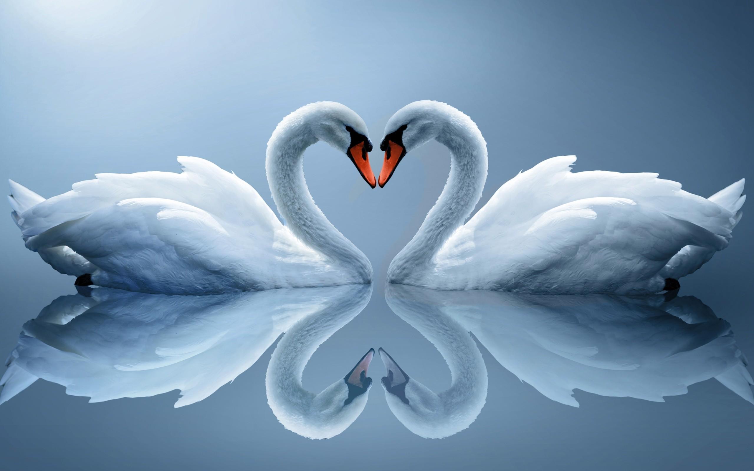 Res: 2560x1600, Swan Love Heart Photos Wallpaper