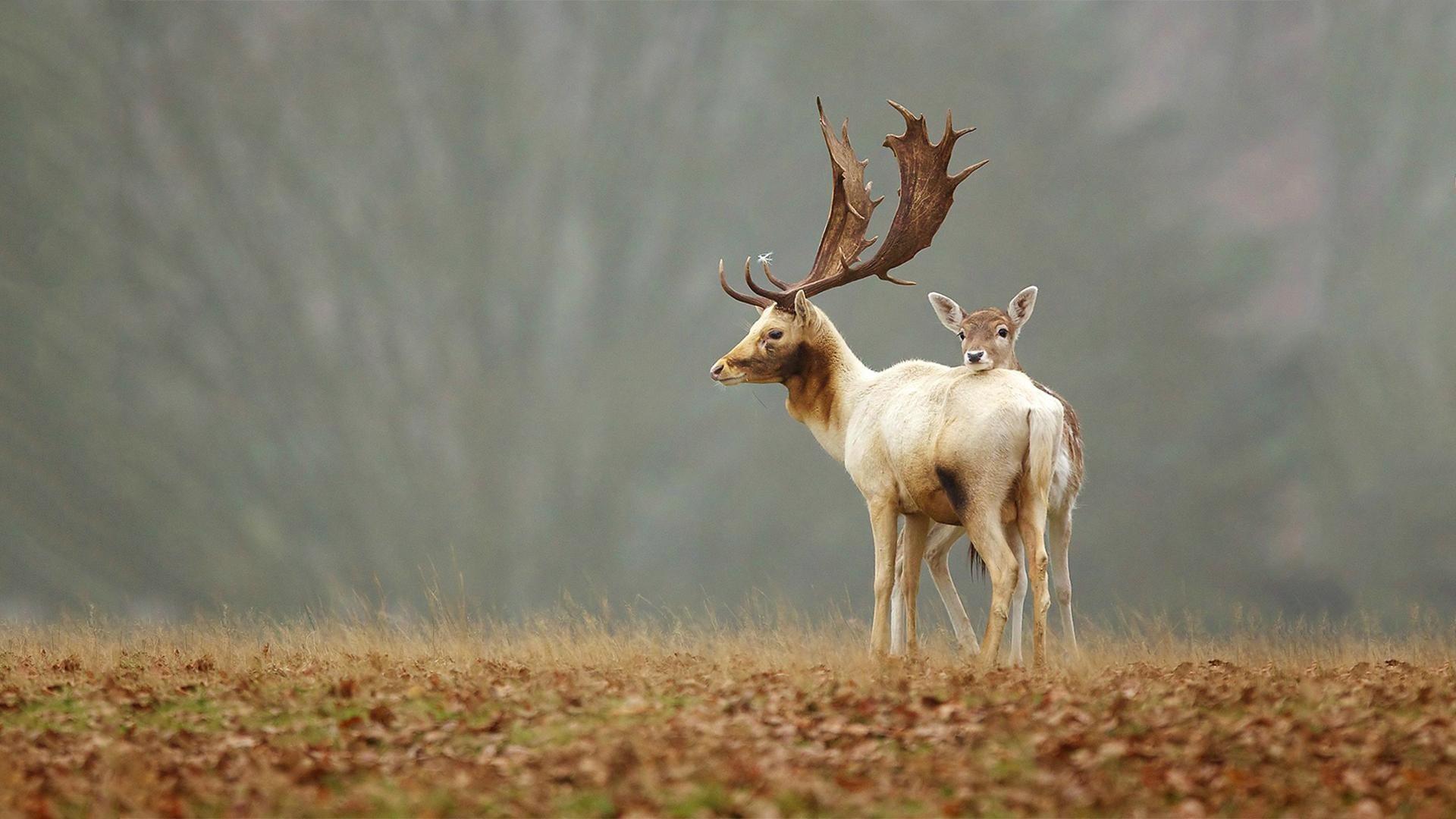 Res: 1920x1080, Deer Wallpaper
