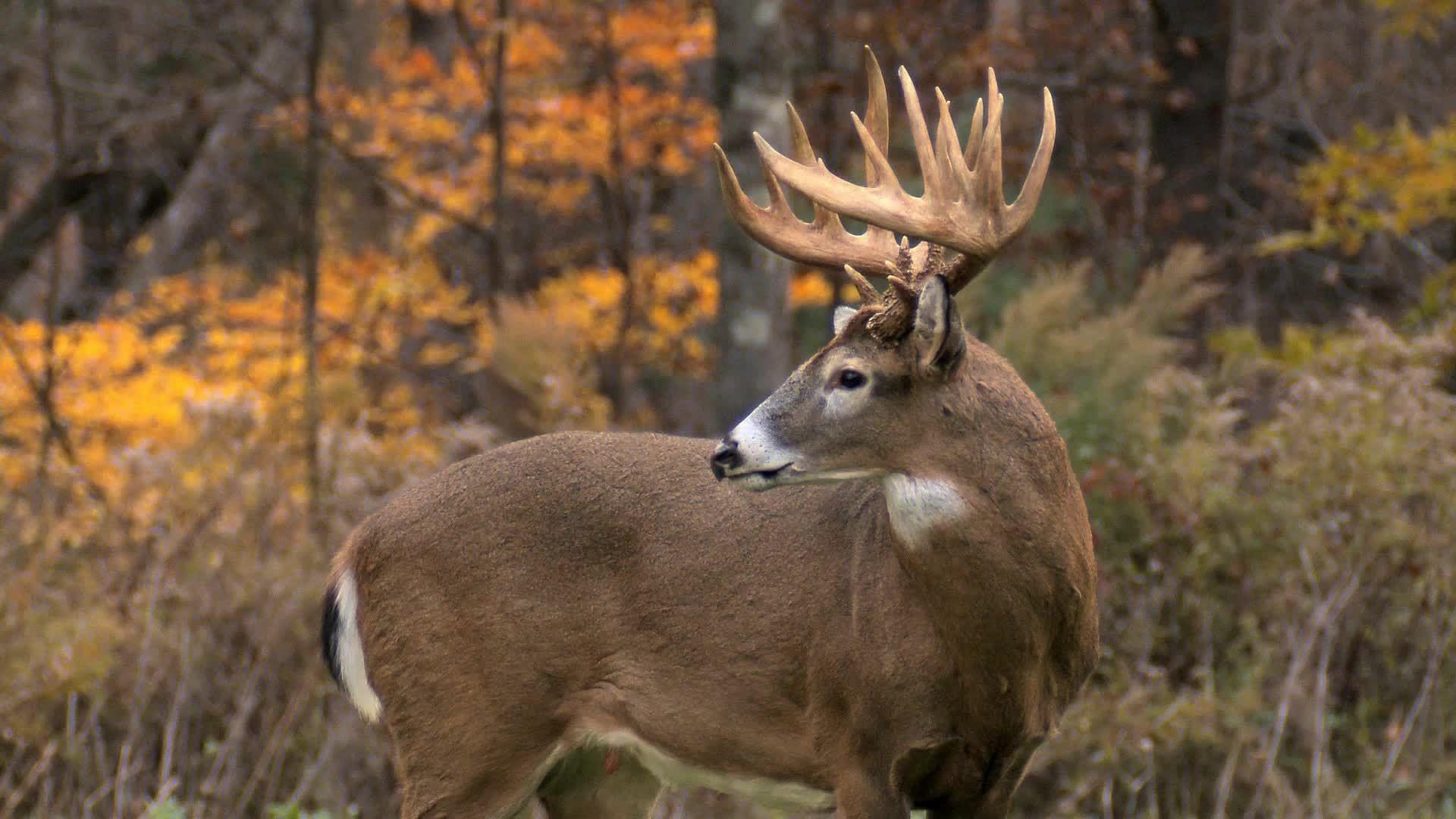 Res: 1920x1080, Side Look Deer HD Wallpapers - 1080p Full HD Wallpaper