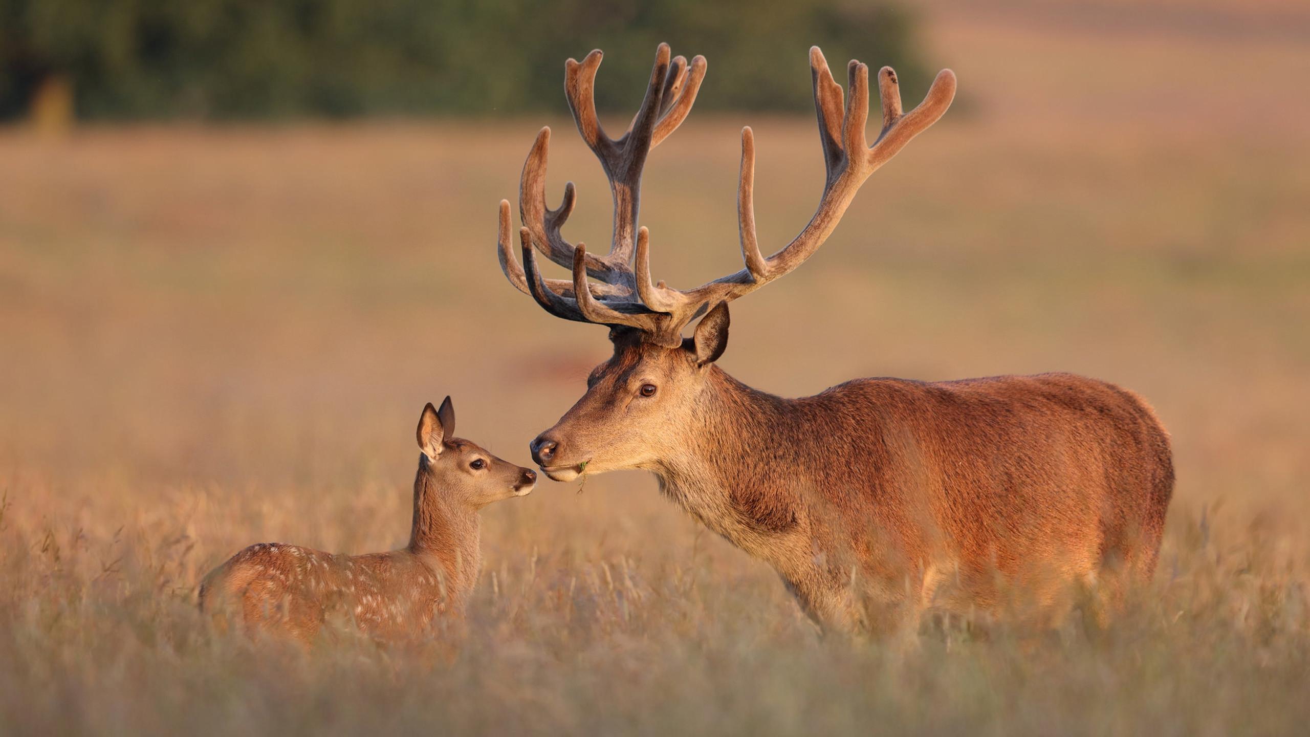 Res: 2560x1440, Red Deer Deer & Elk With Large Antlers Hd Desktop Wallpaper 2560×1600