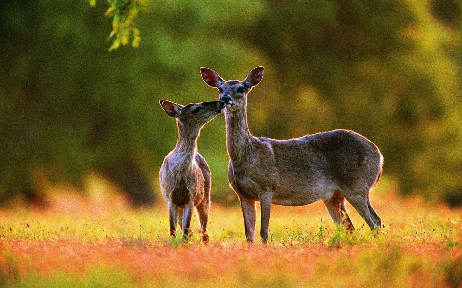 Res: 1920x1200, 462 Deer HD Wallpapers | Backgrounds - Wallpaper Abyss