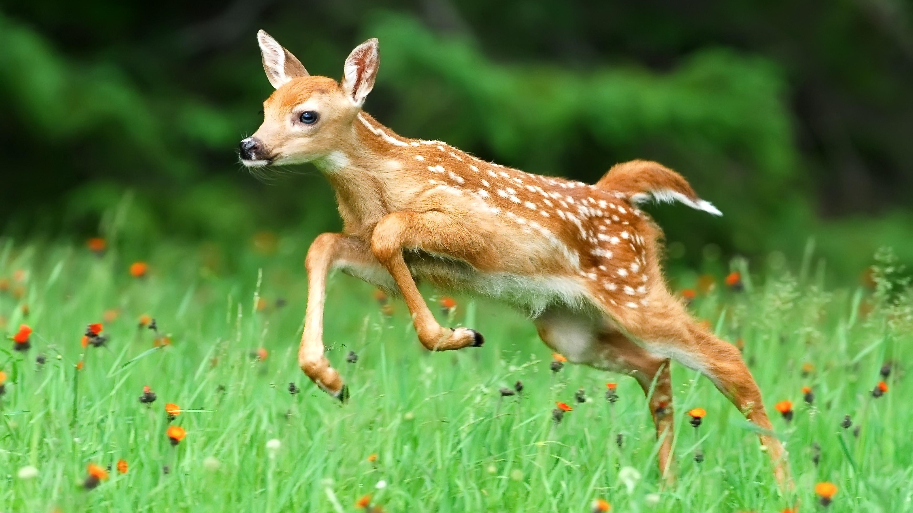 Res: 3840x2160, Cute Baby Deer Running 4K Wallpaper