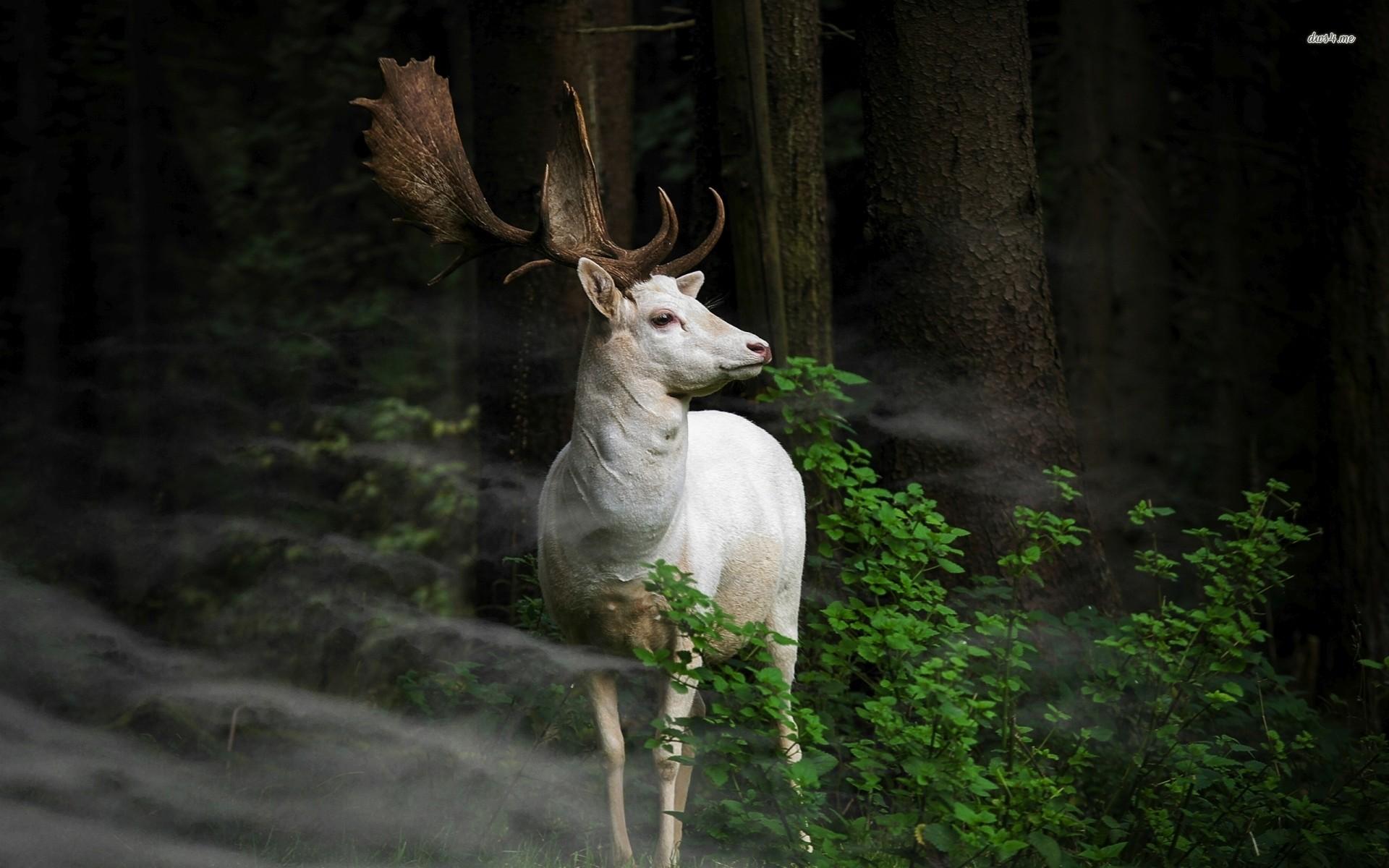 Res: 1920x1200, ... Seneca white deer wallpaper  ...