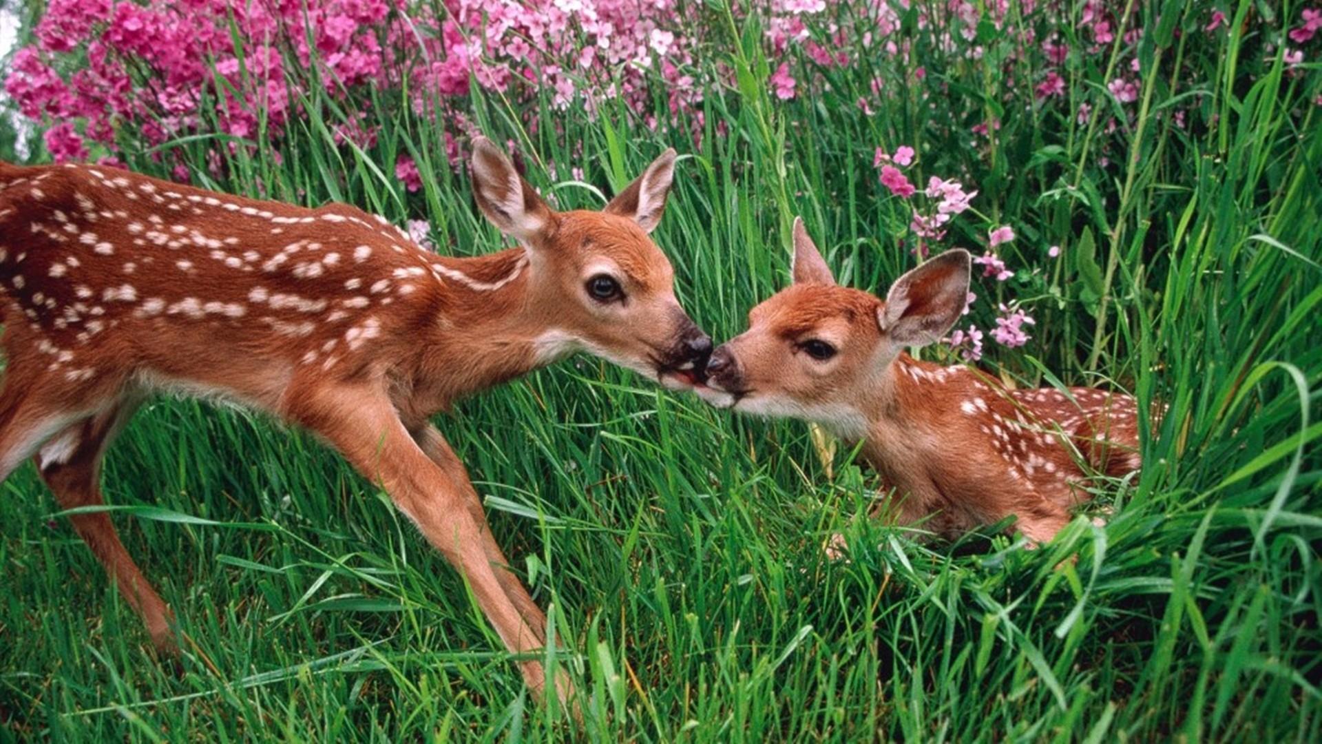 Res: 1920x1080, Roe Deer HD Wallpapers 28206