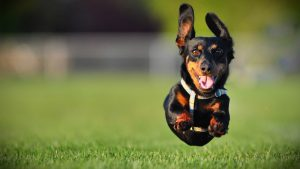Dachshund wallpapers