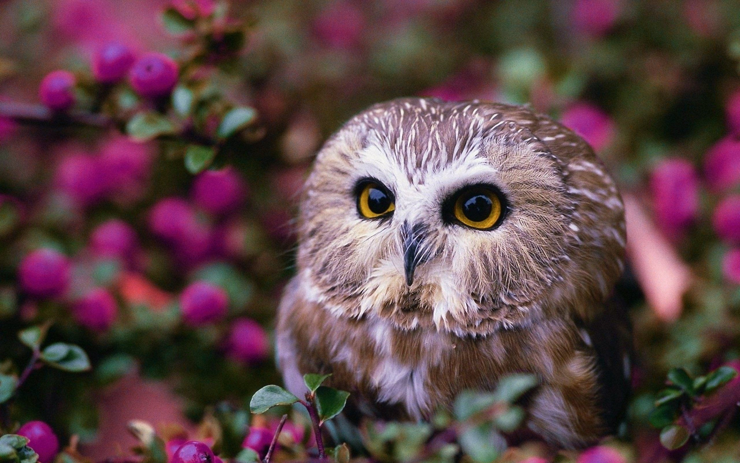 Res: 2560x1600, Birds Wallpaper. Download the following Cute Owl ...