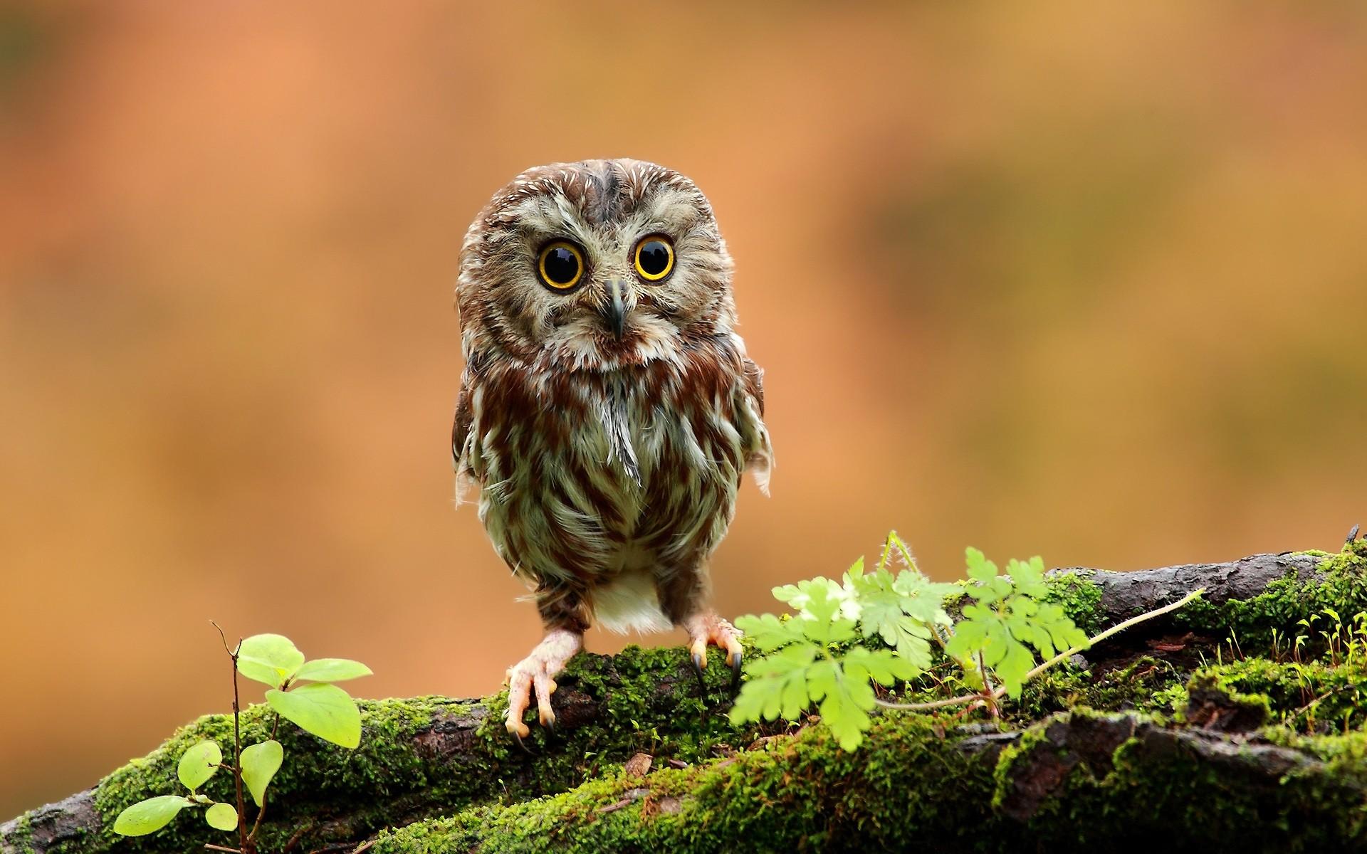 Res: 1920x1200, Baby Owl Wallpaper Cute Wallpaper