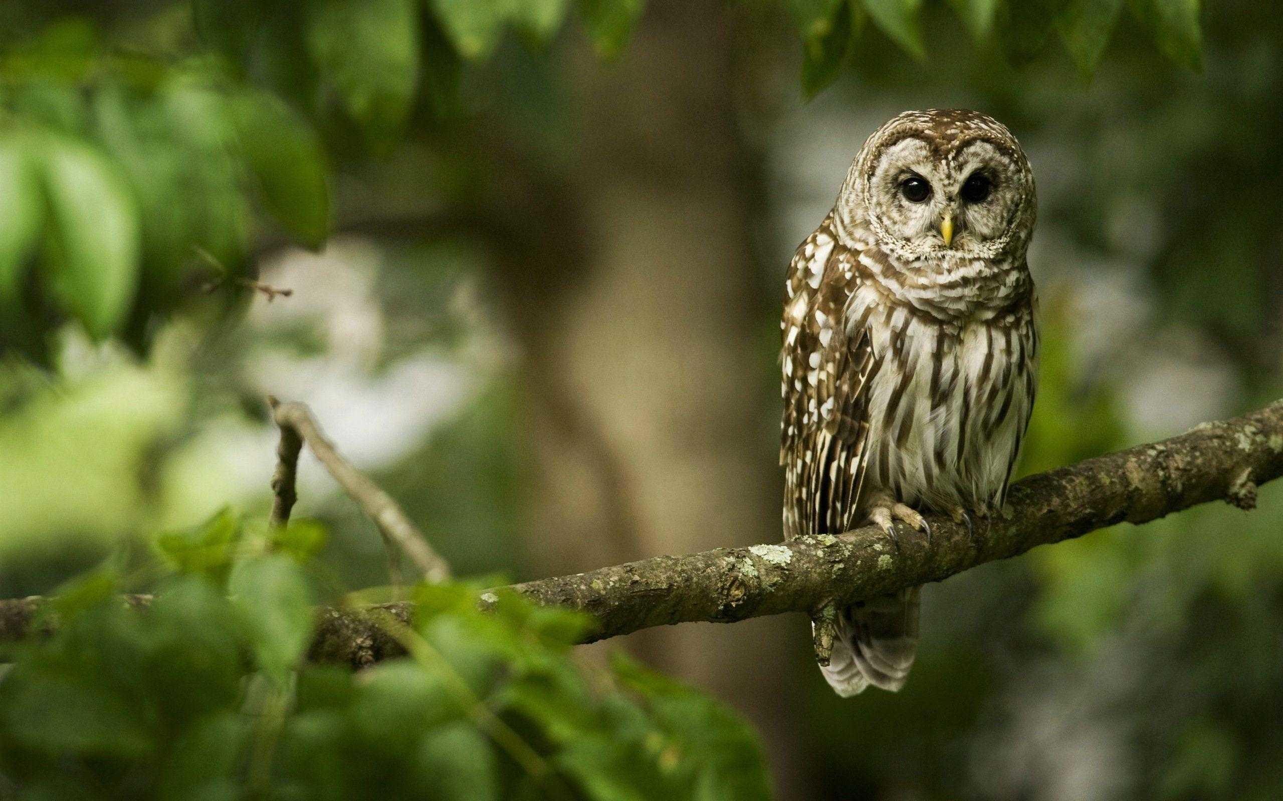 Res: 2560x1600, Cute Owl Wallpaper Desktop Full Hd Pics For Smartphone
