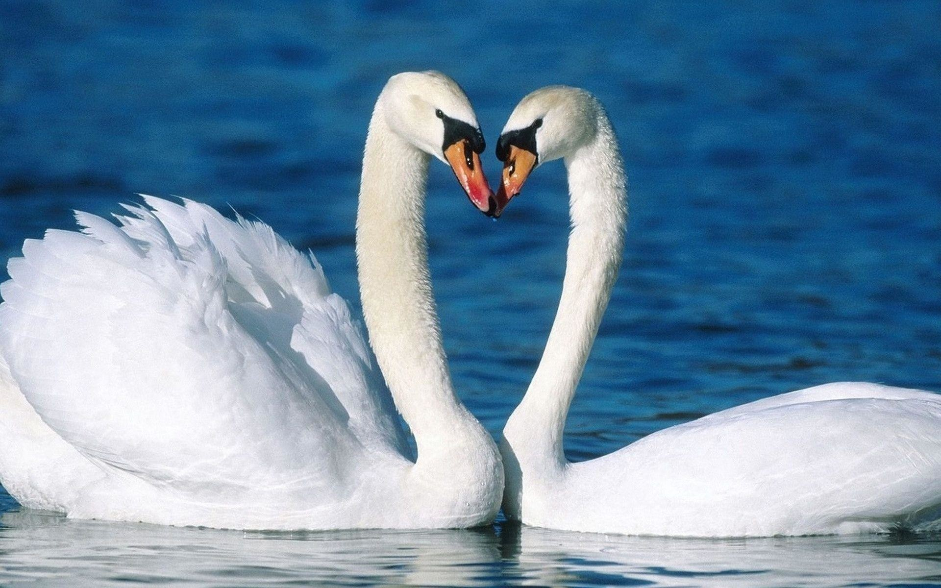 Res: 1920x1200, 210 Swan Wallpapers   Swan Backgrounds