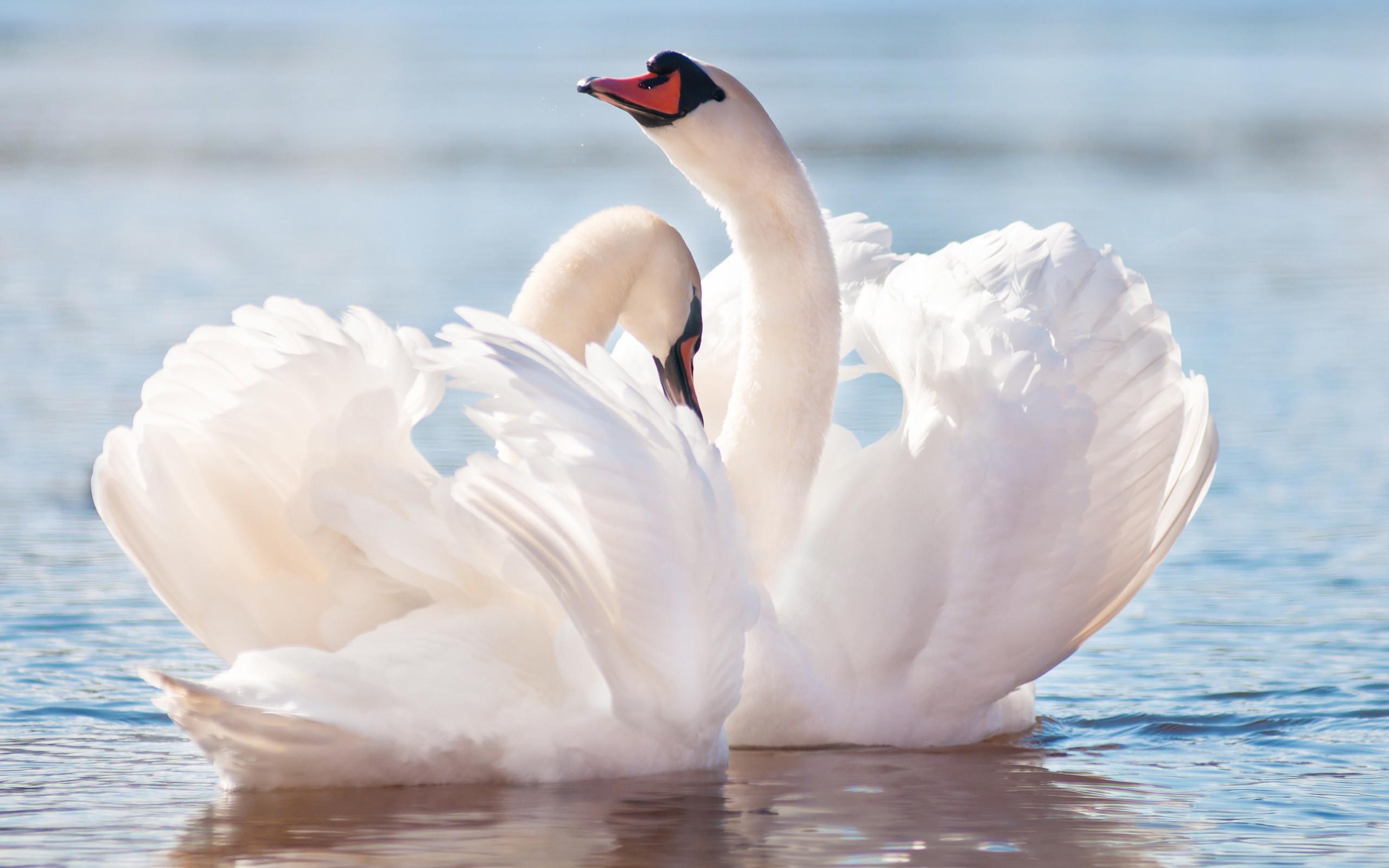 Res: 2560x1600, Swan Wallpaper