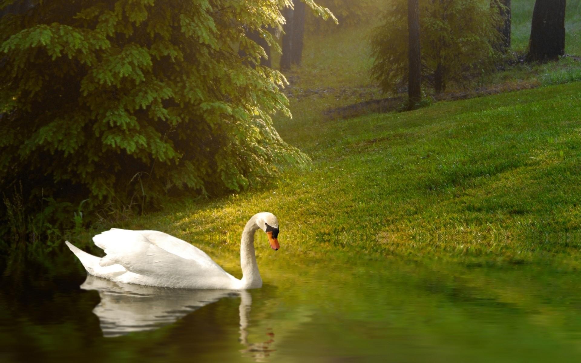 Res: 1920x1200, Swan Wallpaper