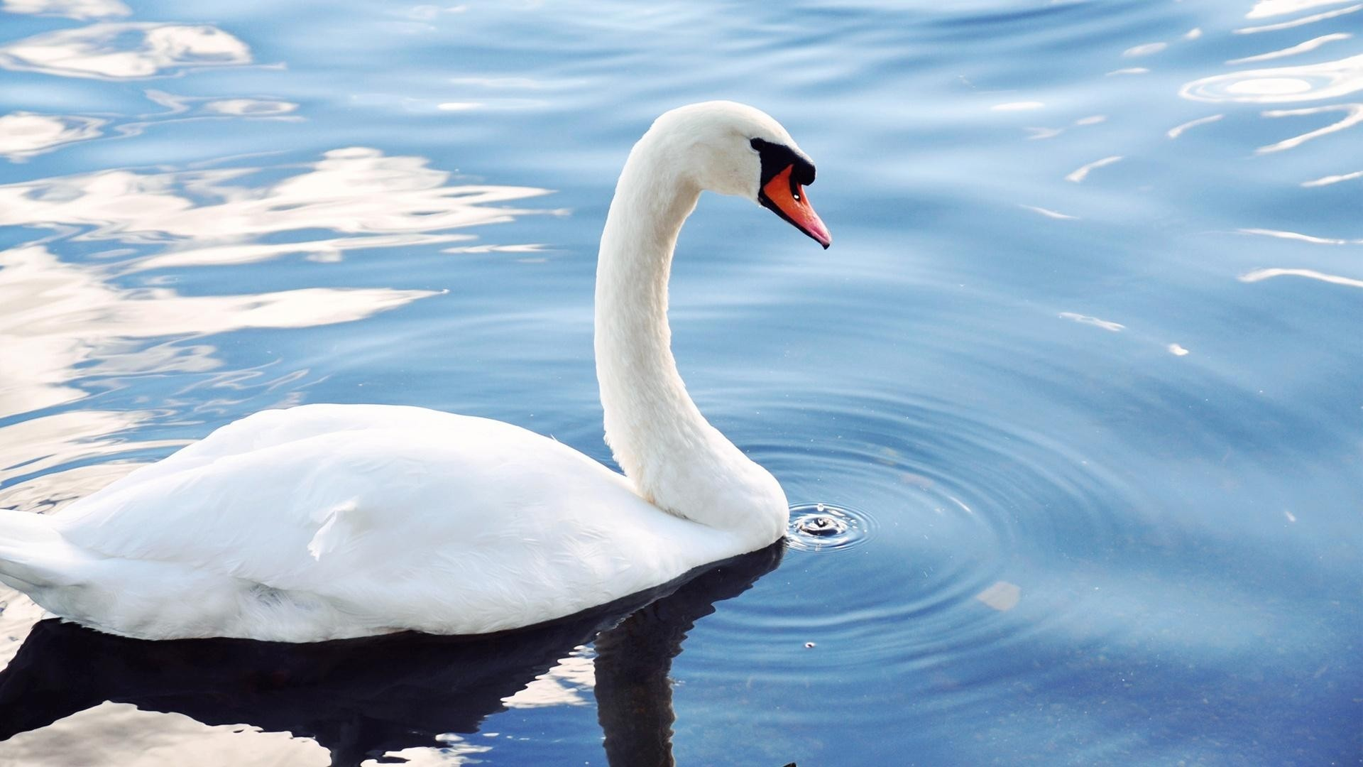 Res: 1920x1080, Animals images Swan HD wallpaper and background photos