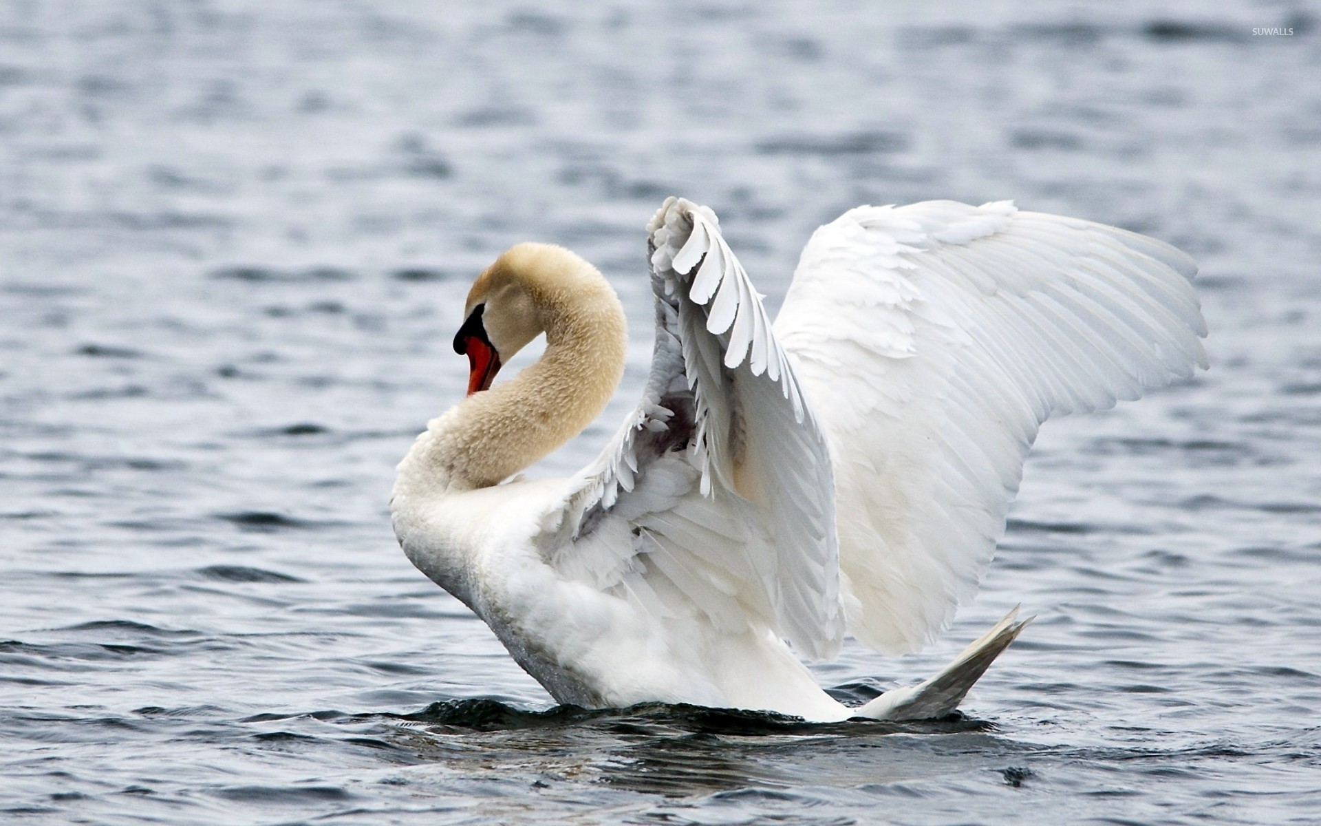 Res: 1920x1200, Swan ready to fly wallpaper