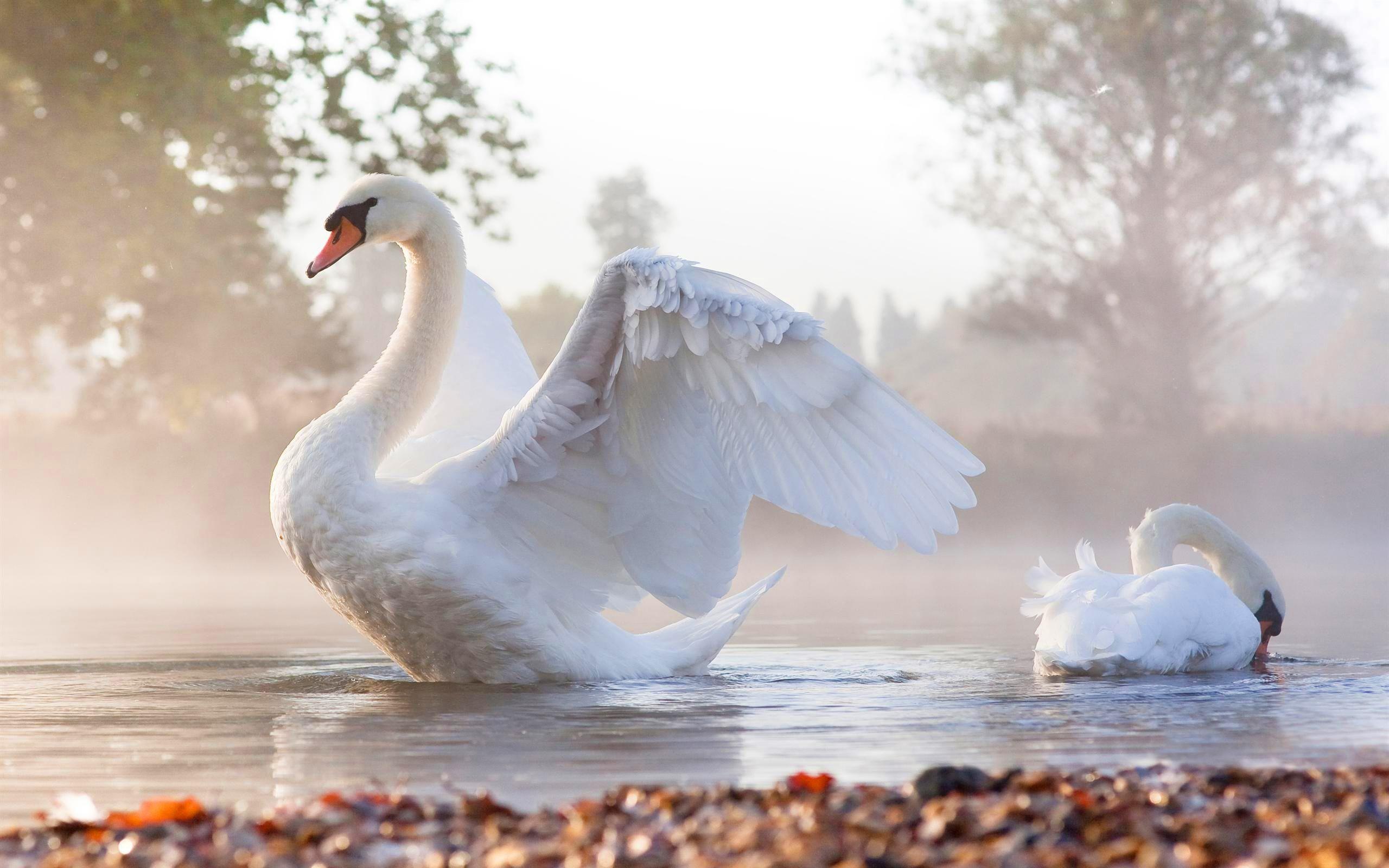 Res: 2560x1600, Swans