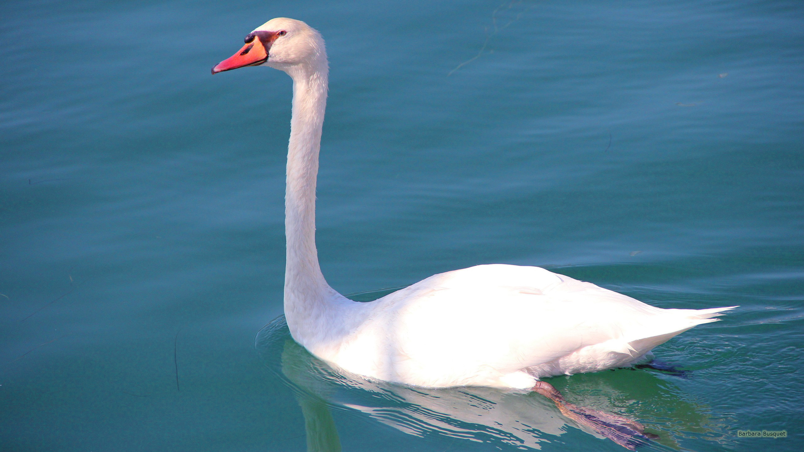 Res: 2560x1440, HD wallpaper White swan in the blue water.
