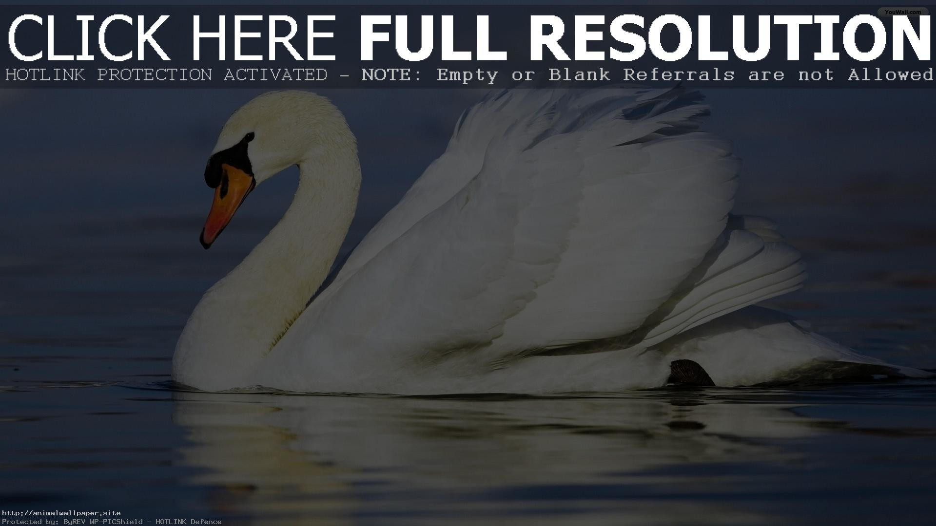 Res: 1920x1080, Greatest Mute Swan Wallpaper