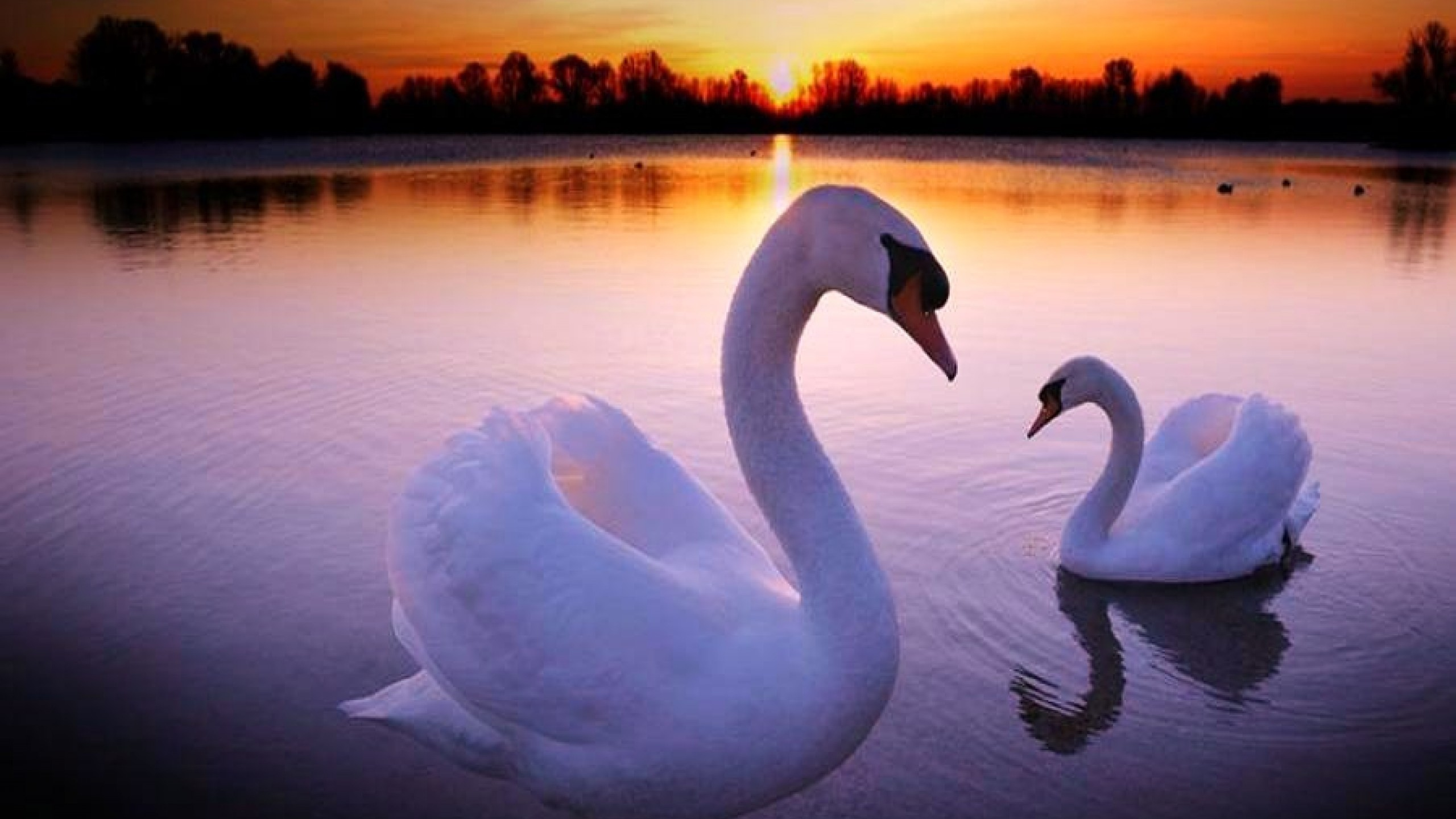 Res: 2560x1440, ... Top Swan Mobile Images, Gorgeous Wallpapers ...