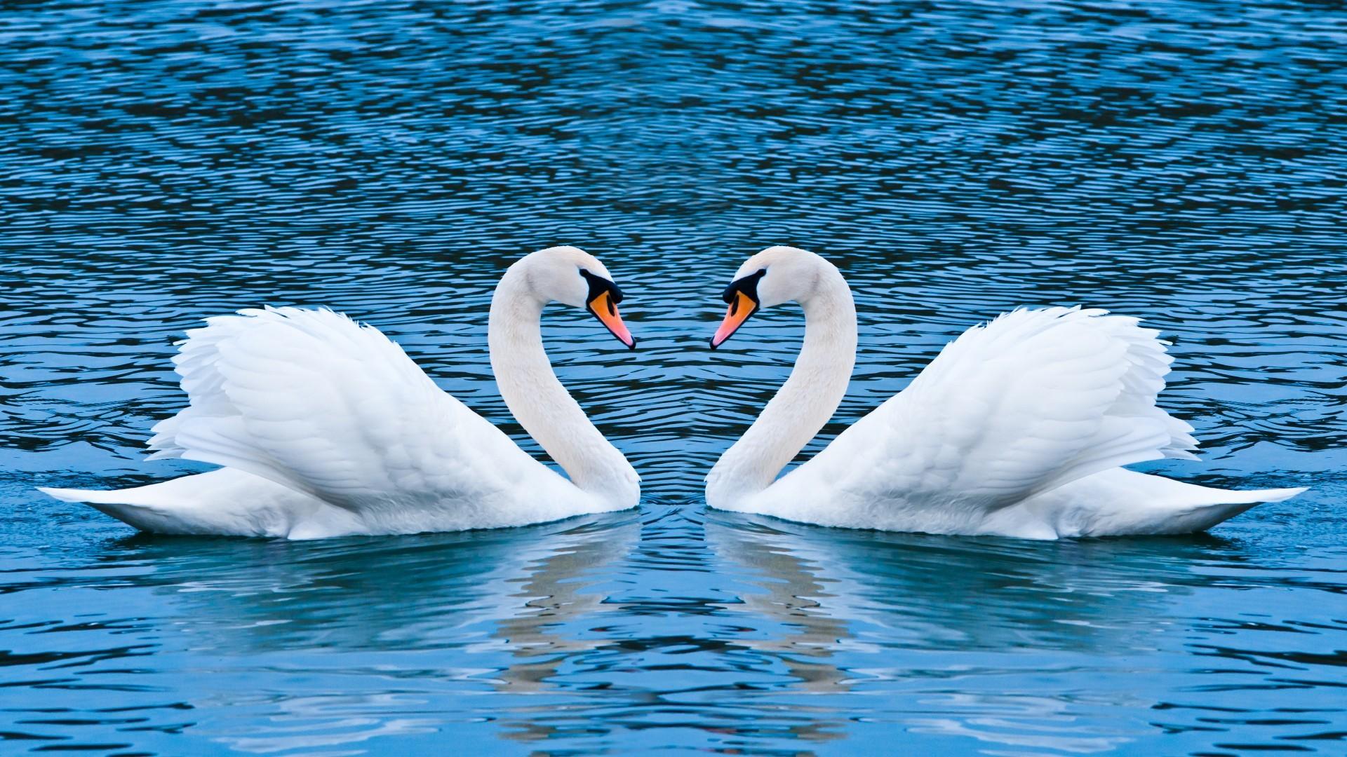 Res: 1920x1080, Swan Love Wallpaper