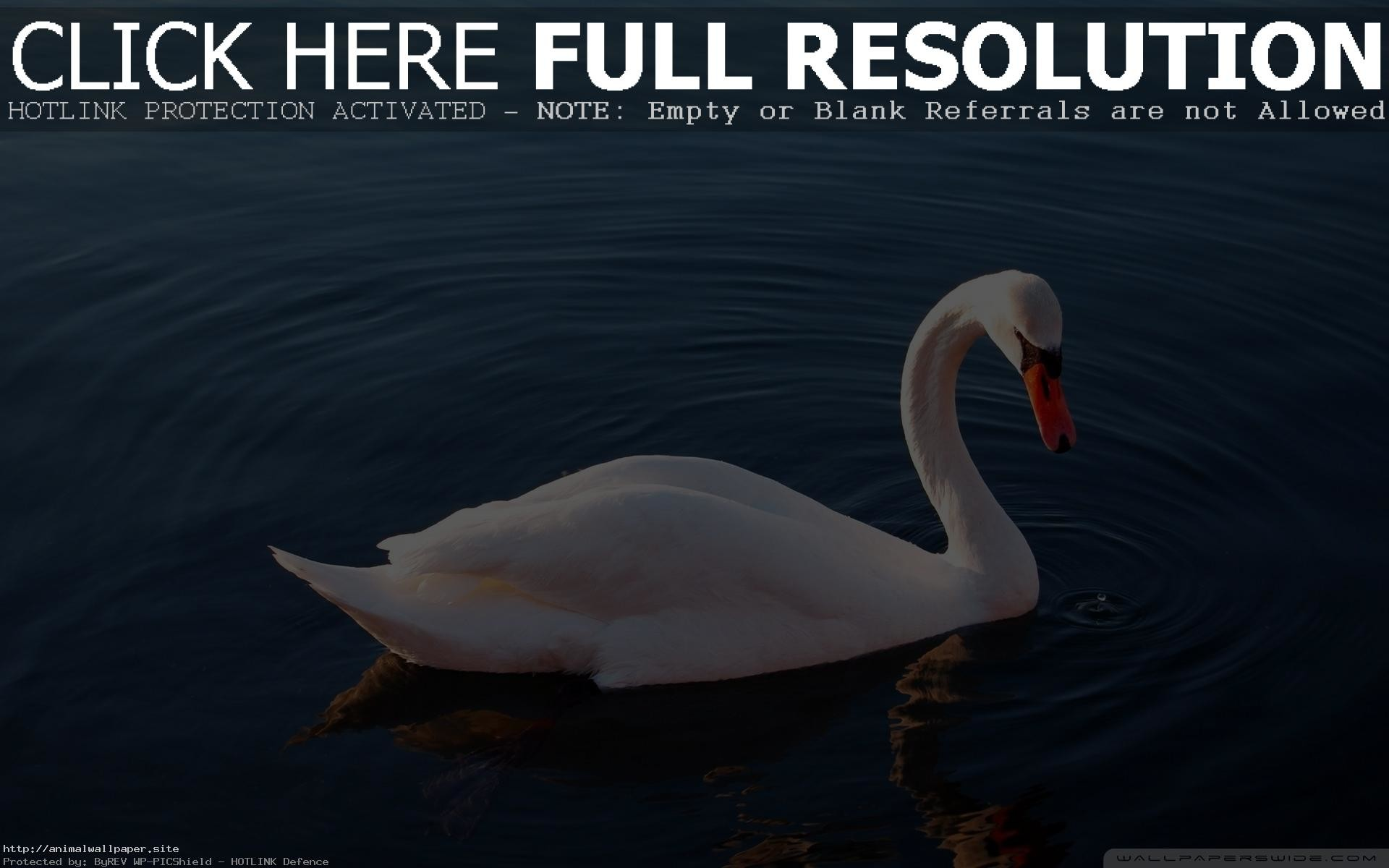 Res: 1920x1200, Great White Swan Wallpaper