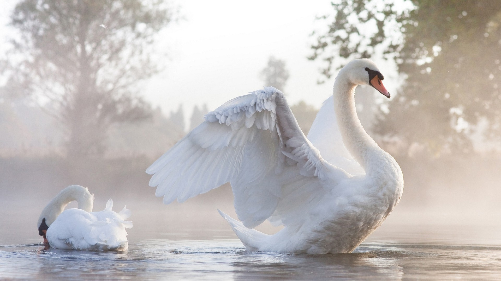 Res: 1920x1080, Swan wallpapers by Twalls