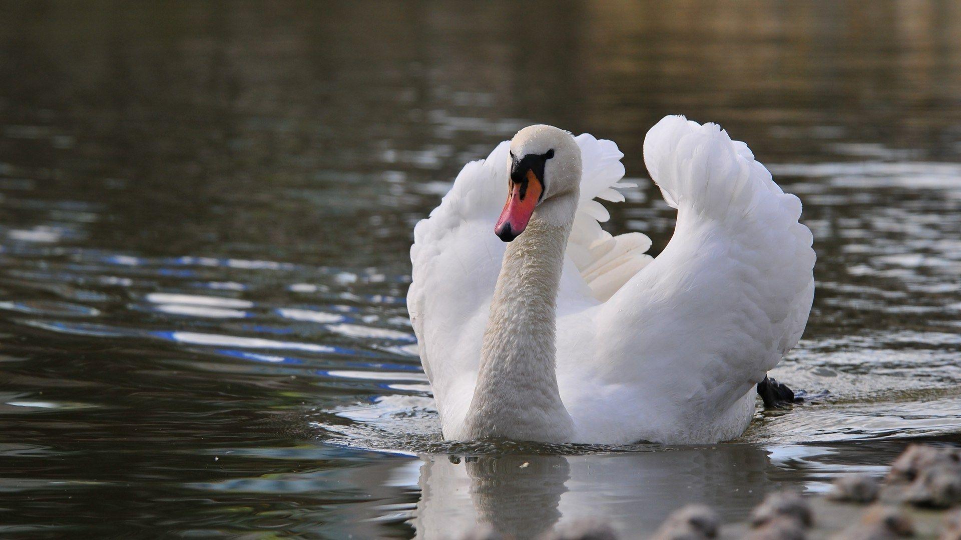 Res: 1920x1080,  beautiful swan wallpapers   Beautiful white swan wallpaper