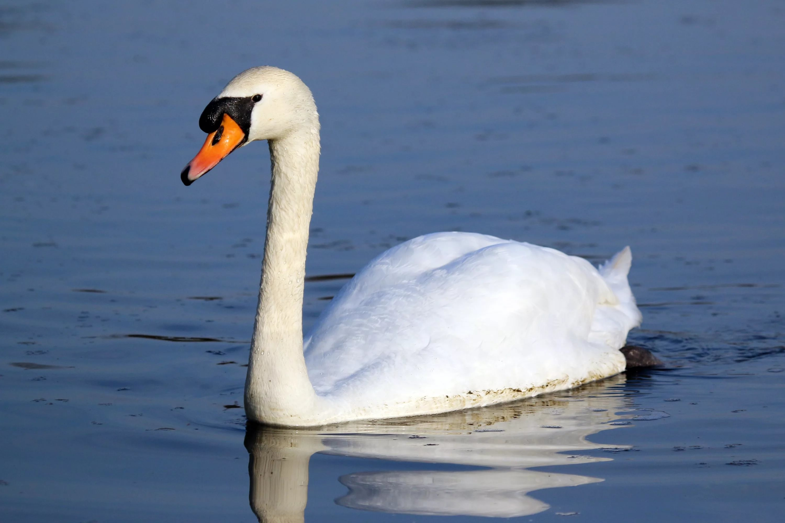 Res: 3000x2000, ... Mute Swan Wallpapers HD ...