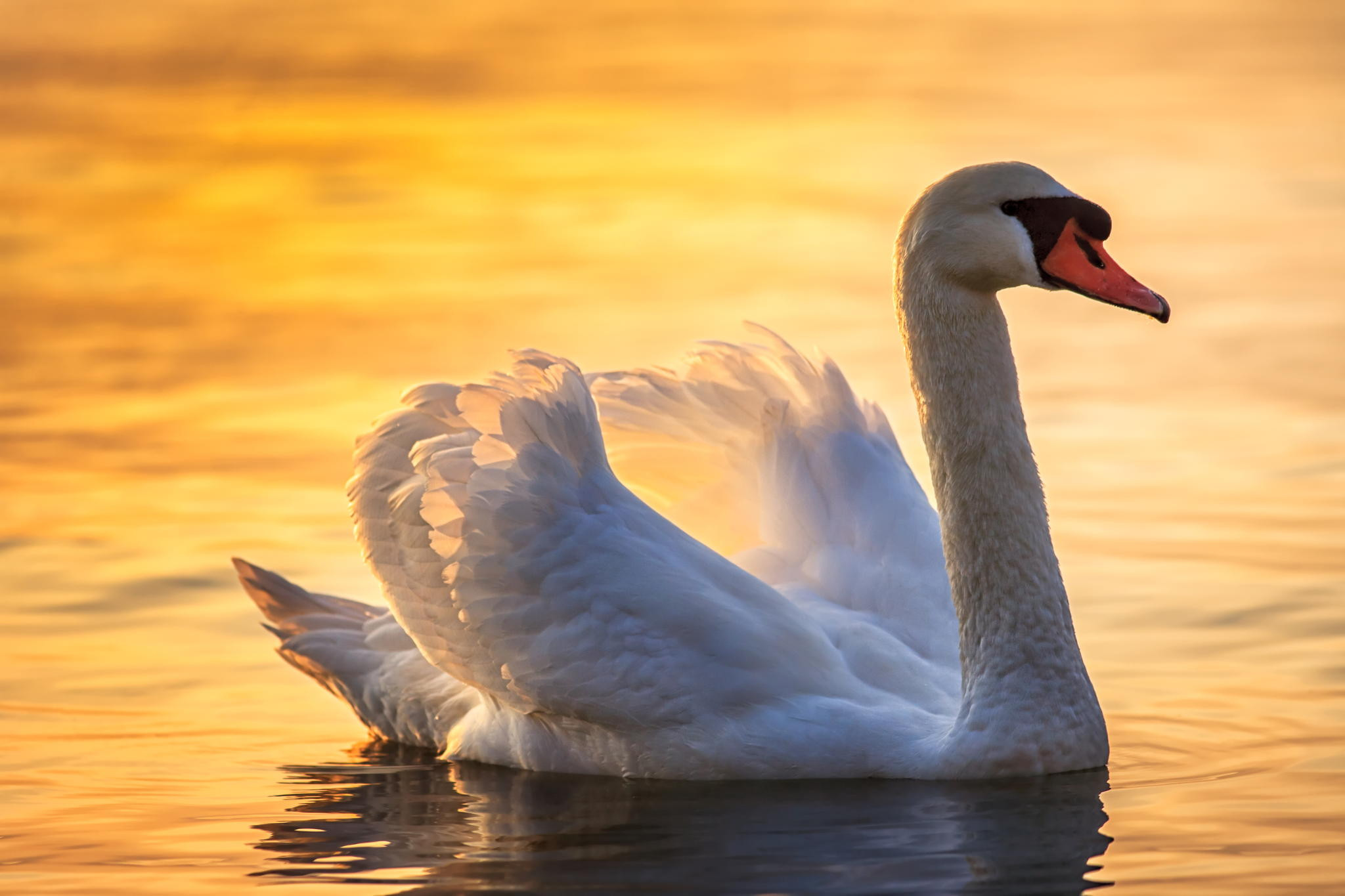 Res: 2048x1365, ... Swan wallpapers by Twalls