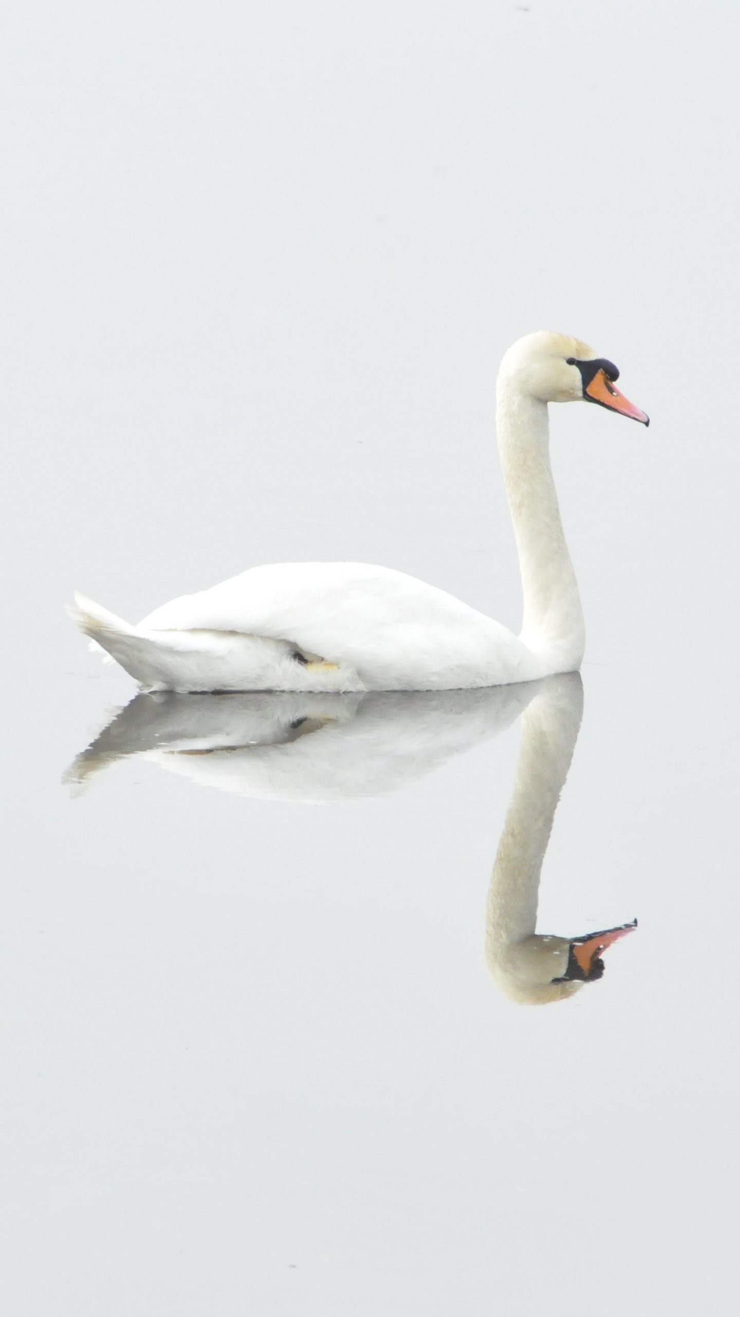 Res: 1440x2560, White Swan on Water
