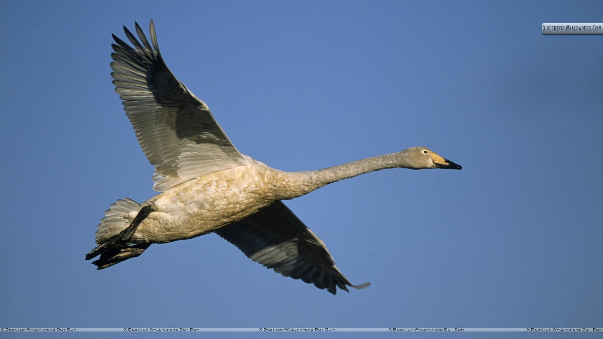 """Res: 1920x1080, You are viewing wallpaper titled """"Swan ..."""