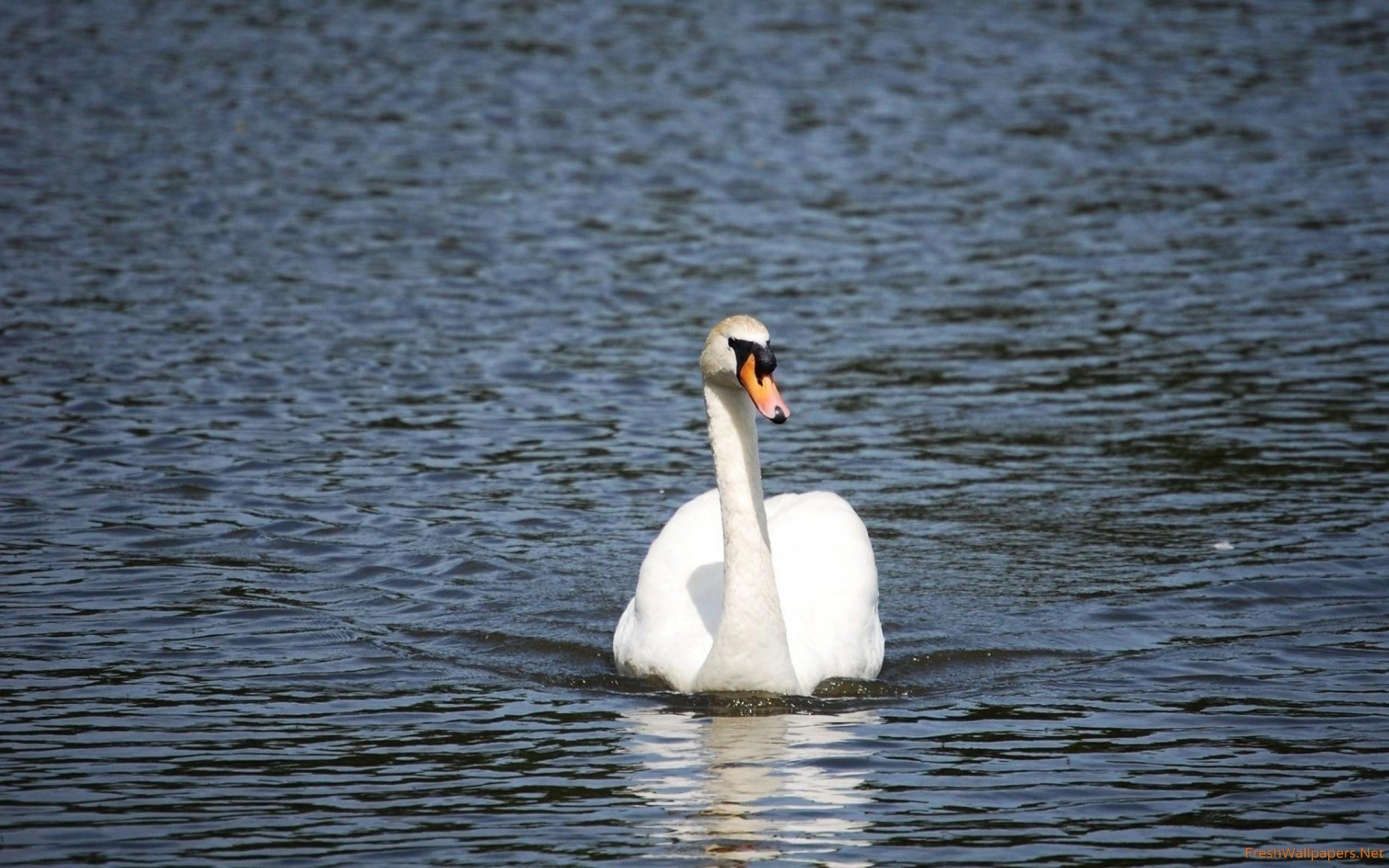 Res: 2560x1600, swan Wallpaper: