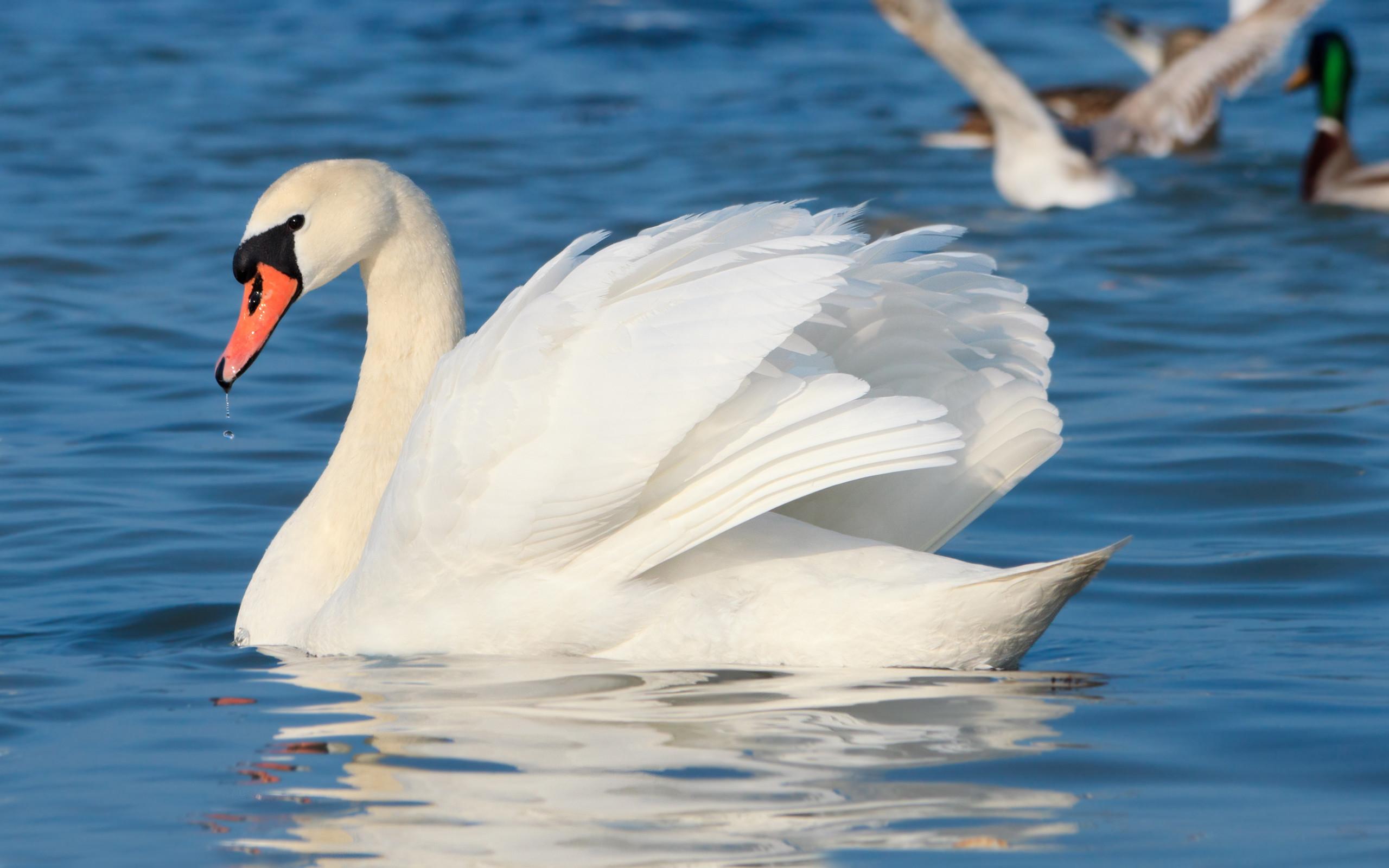 Res: 2560x1600, Mute swan Wallpaper 22 - 2560 X 1600